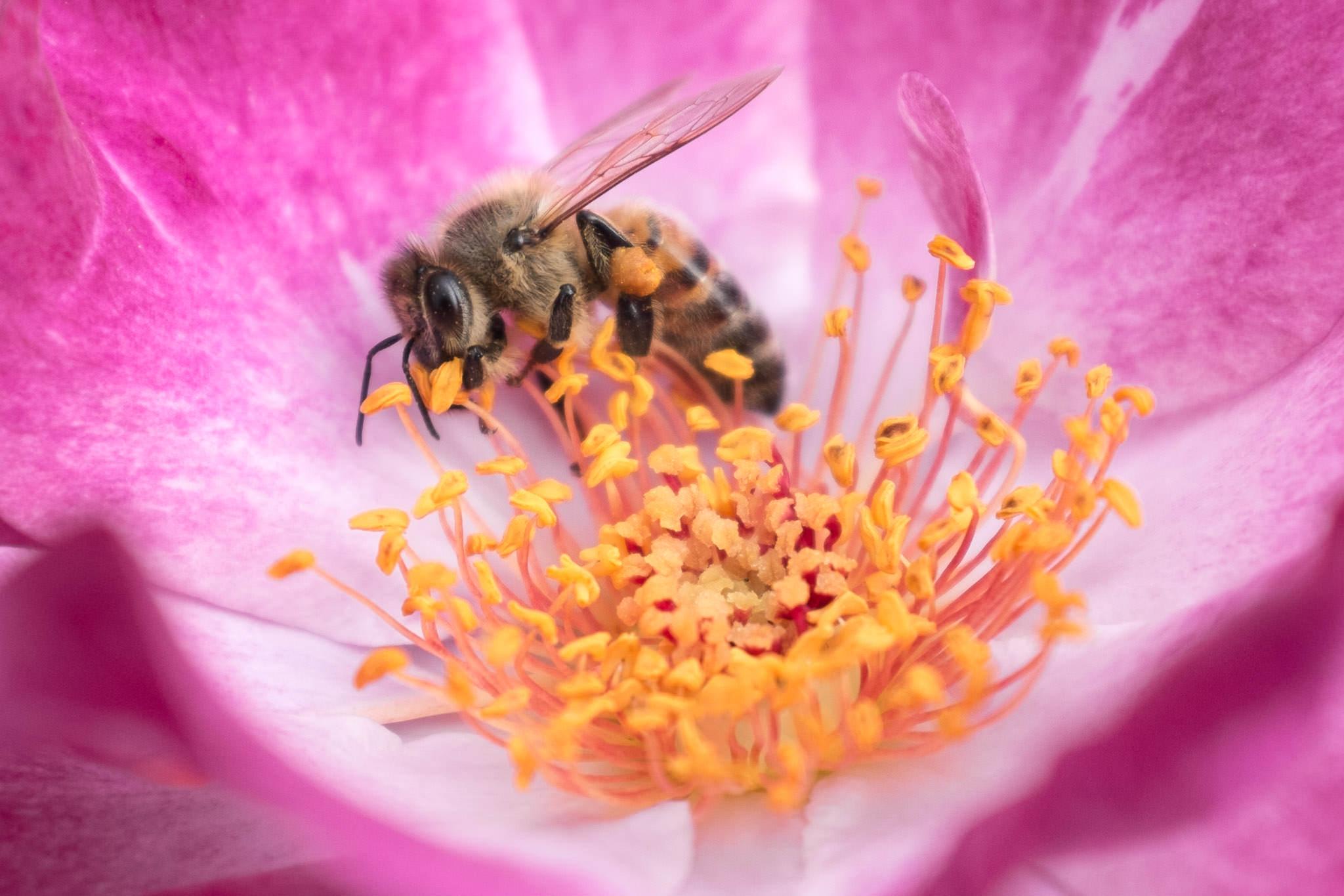 Honey Bee  Portland Rose Garden  #20130823_0042-2