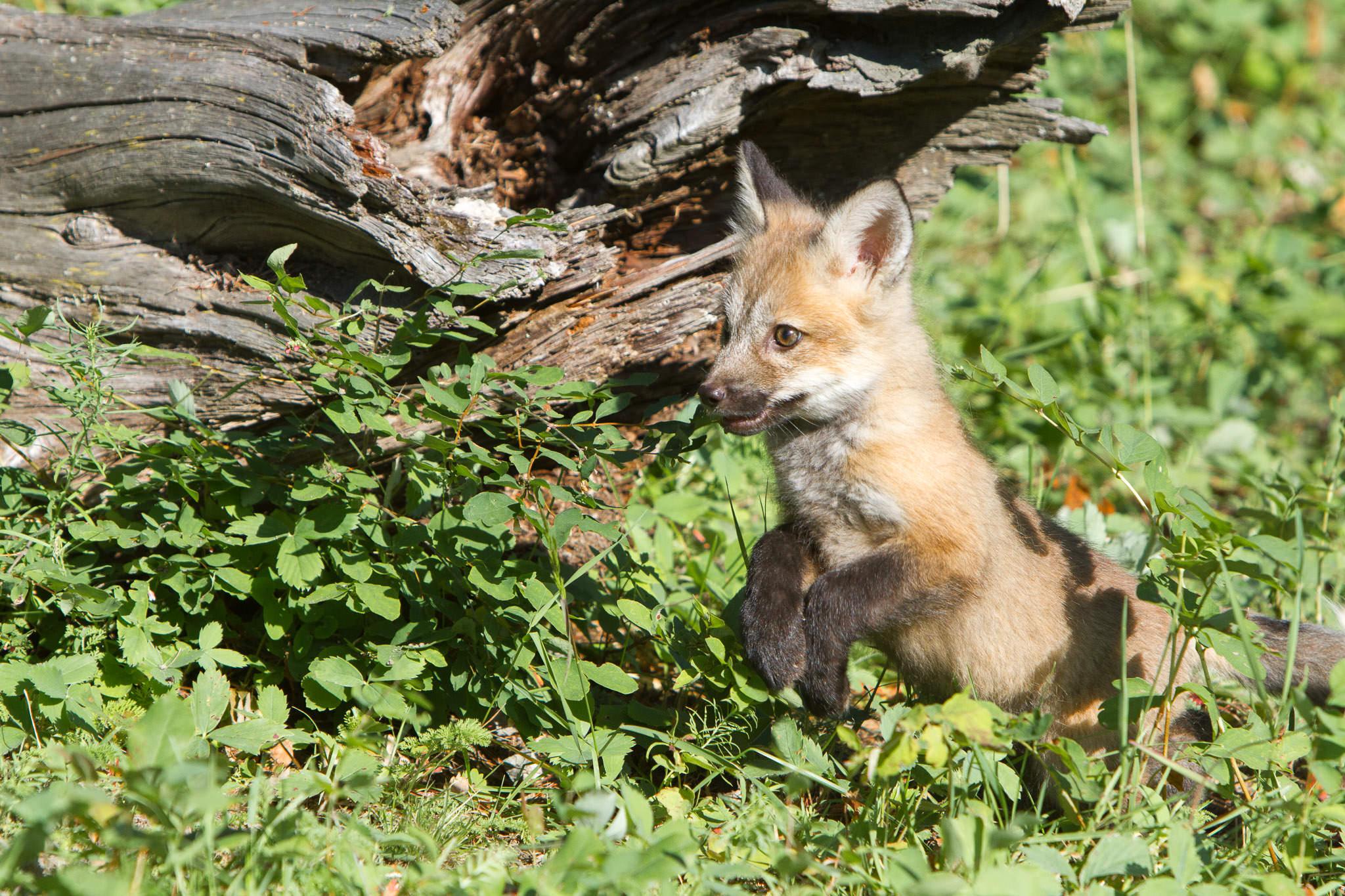 Red fox kit  Western Montana  #20130707_0238