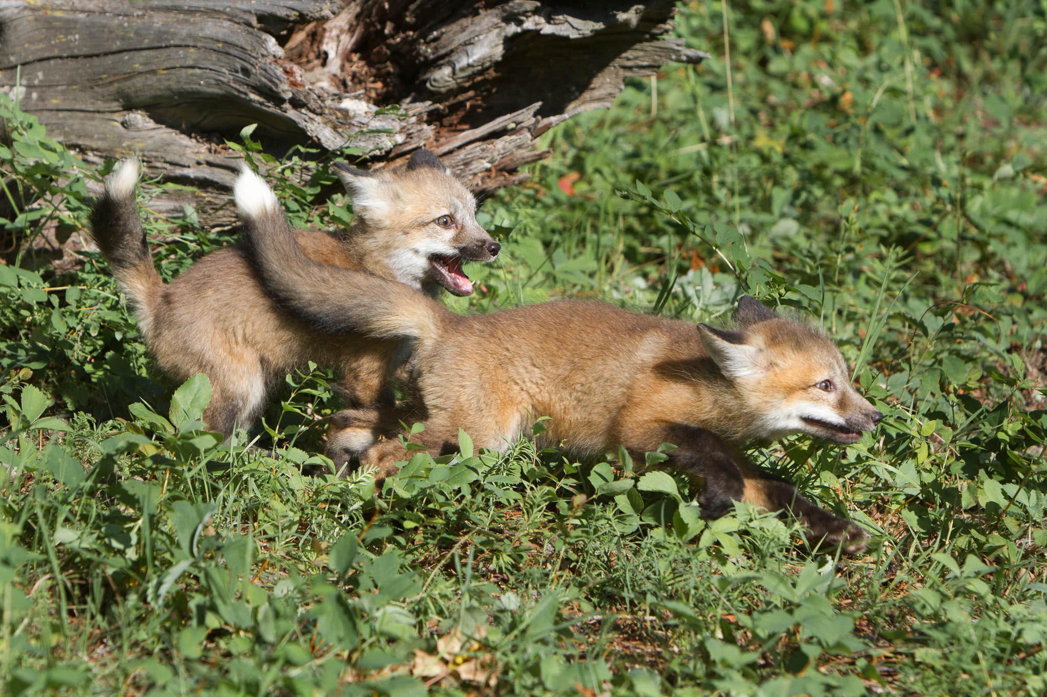 Red fox kits  Western Montana  #20130707_0239
