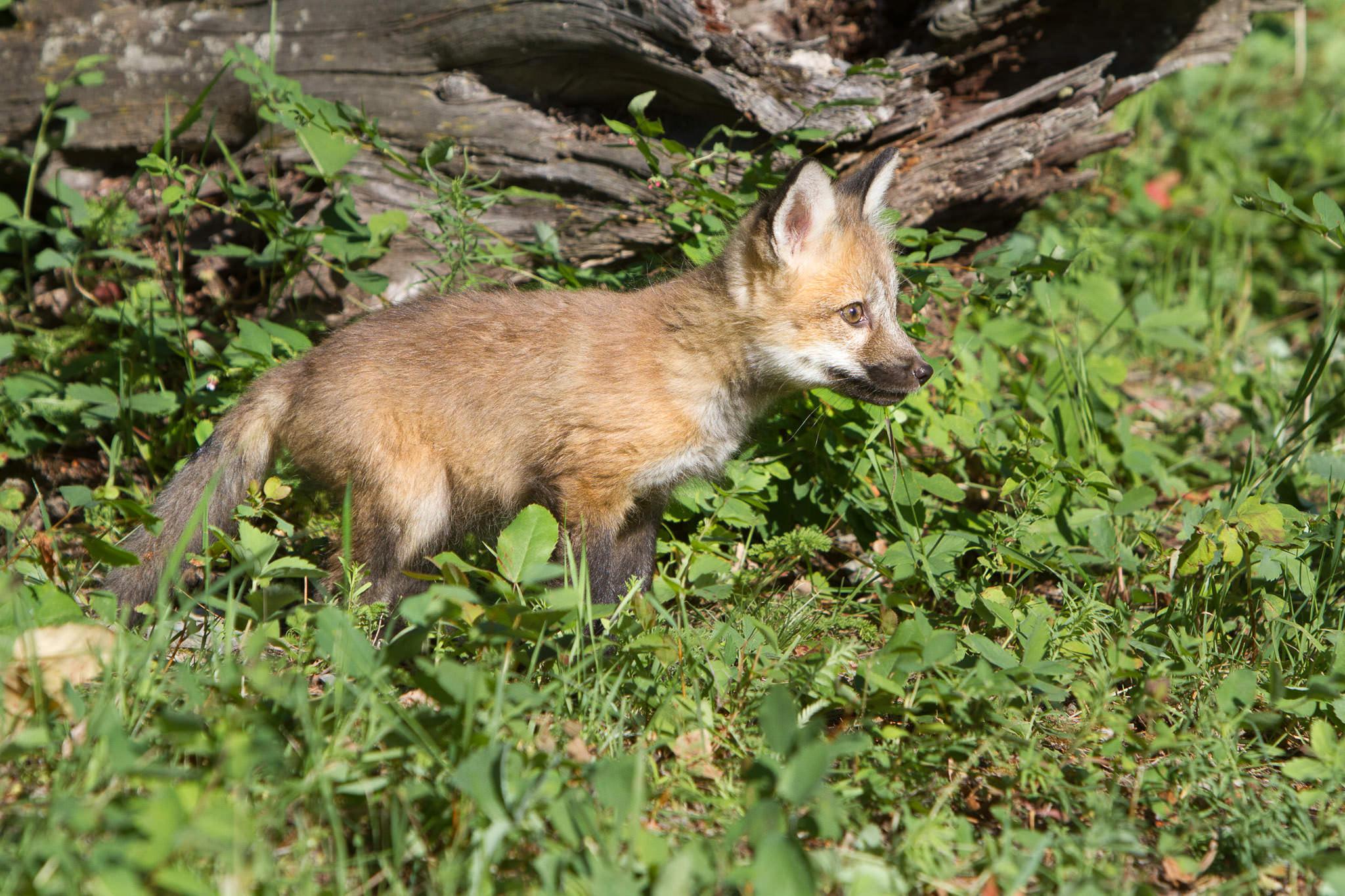 Red fox kit  Western Montana  #20130707_0249
