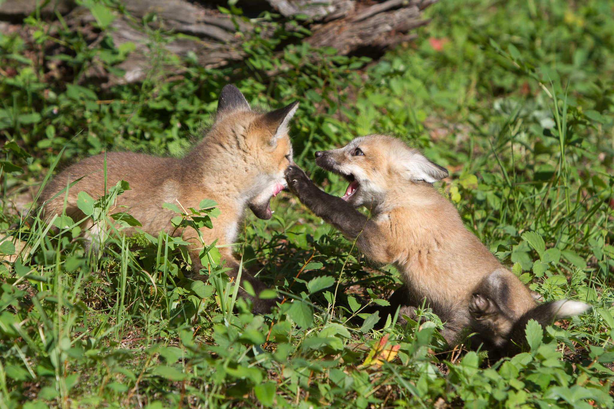 Red fox kits  Western Montana  #20130707_0268