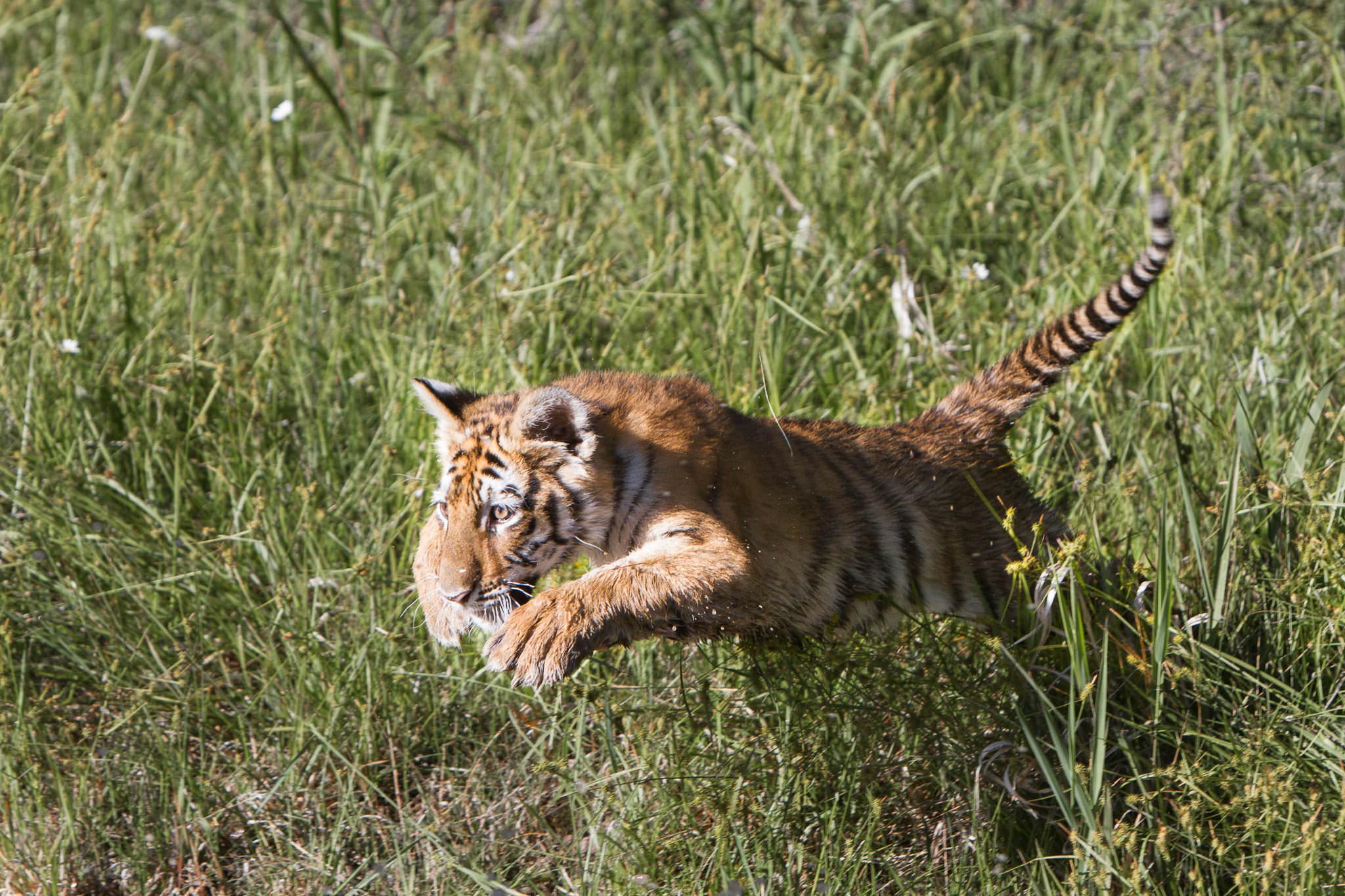 Tiger cub #20130707_0561