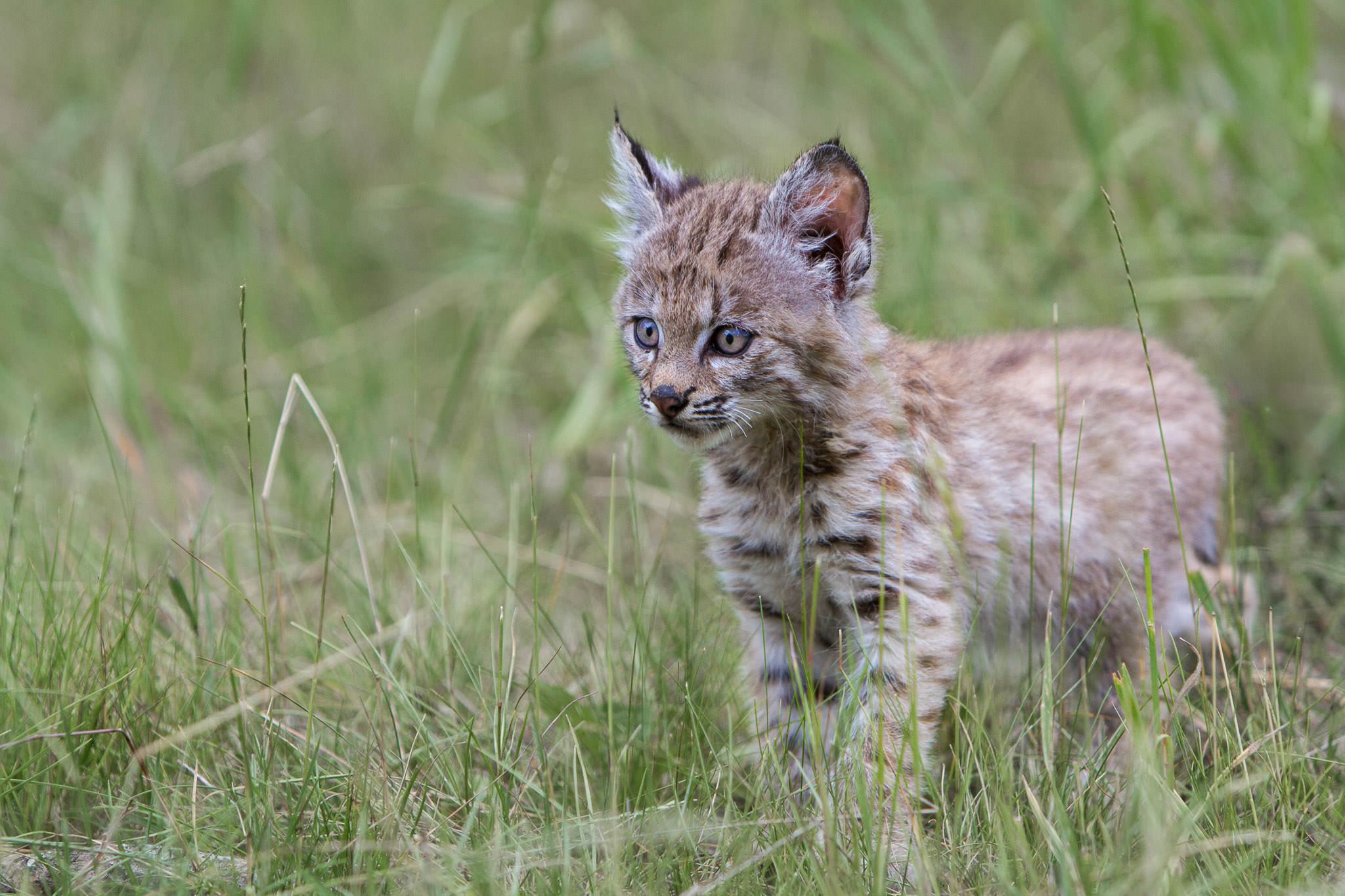 Bobcat kitten  Western Montana  #20130708_0088-2