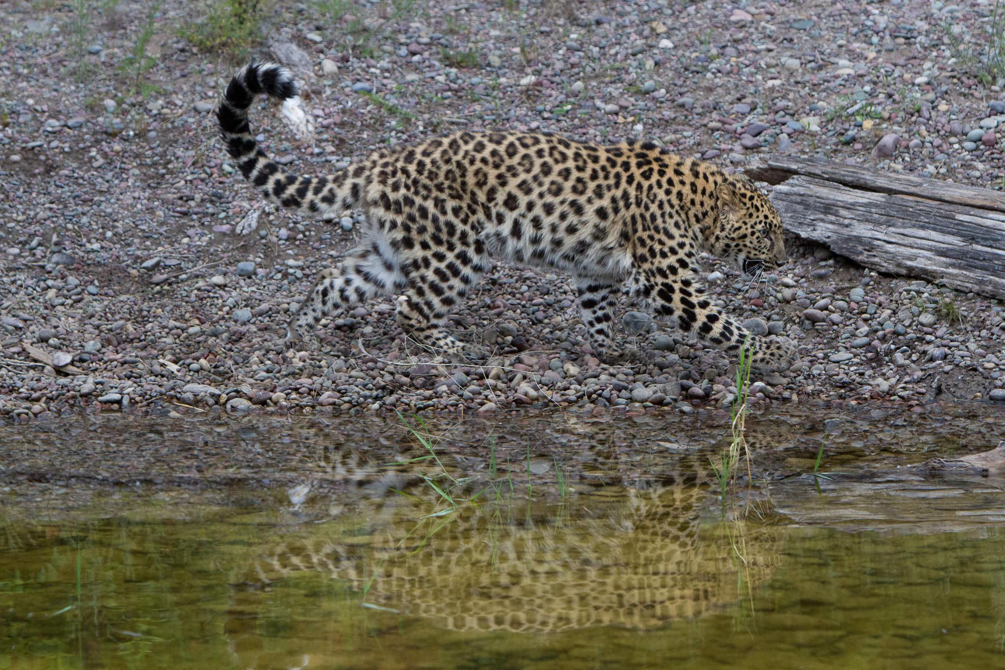 Amur Leopard #20130708_0223