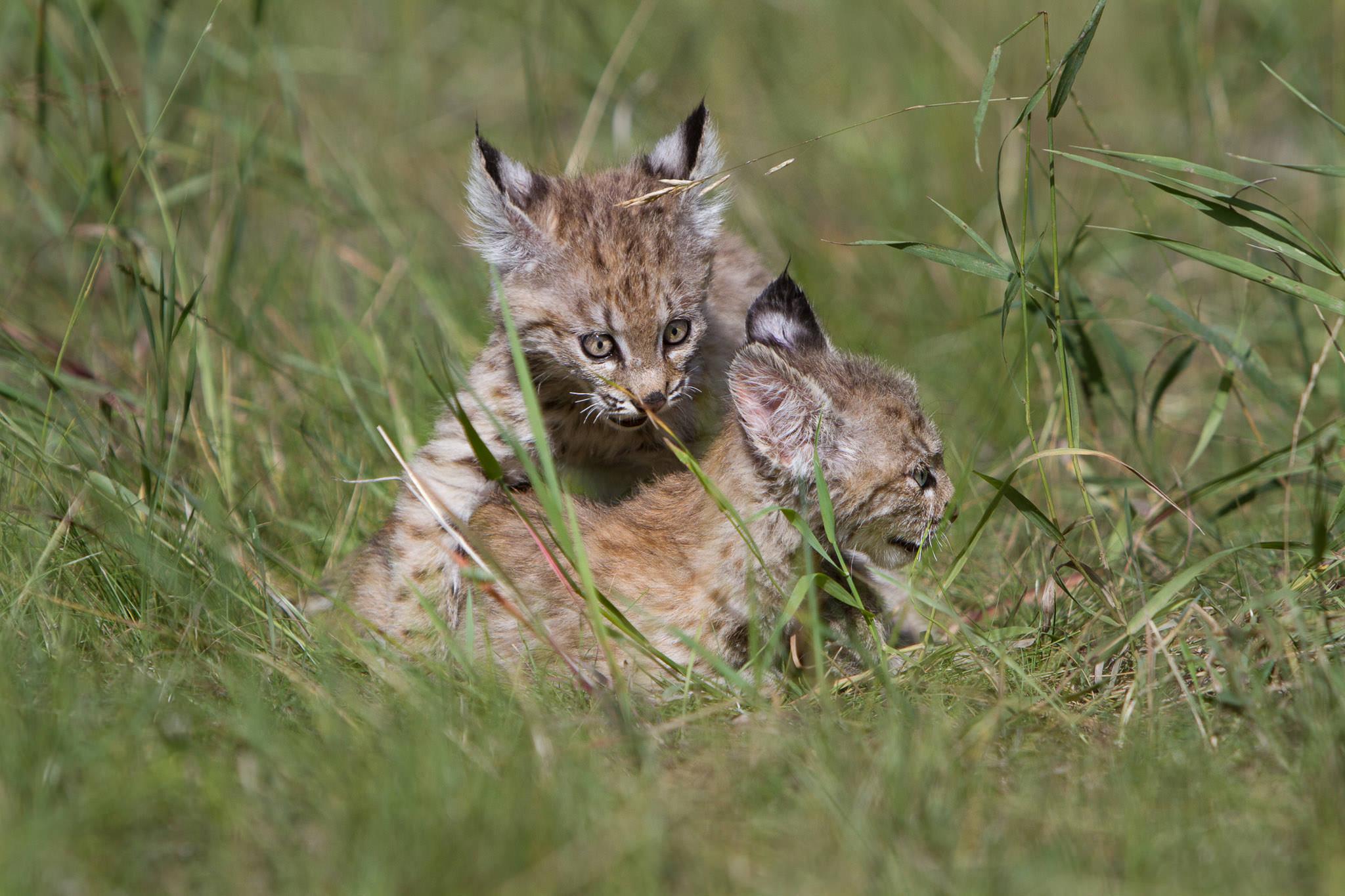Bobcat kittens  Western Montana  #20130708_0278-2