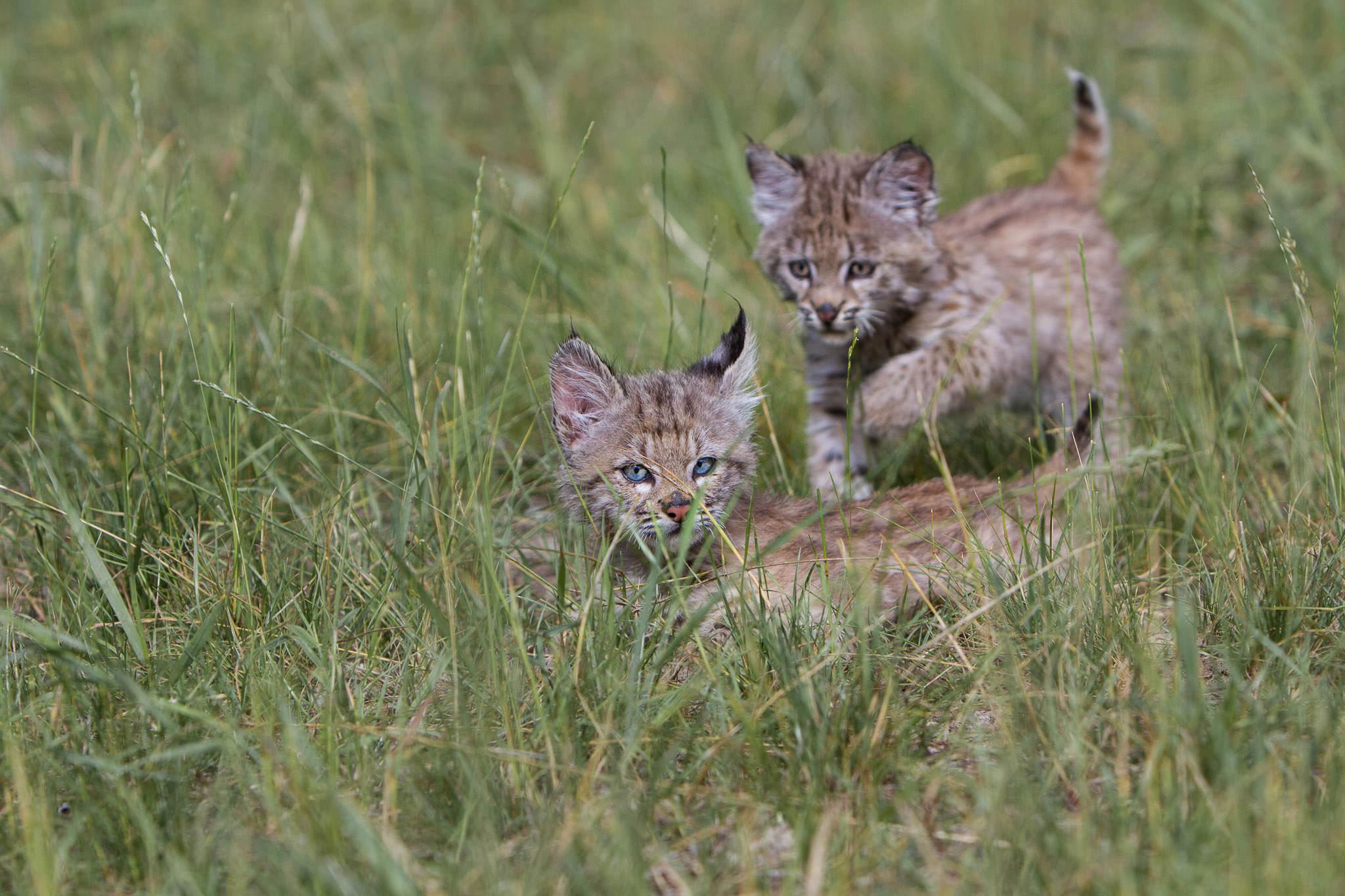 Bobcat kittens  Western Montana  #20130708_0236-2