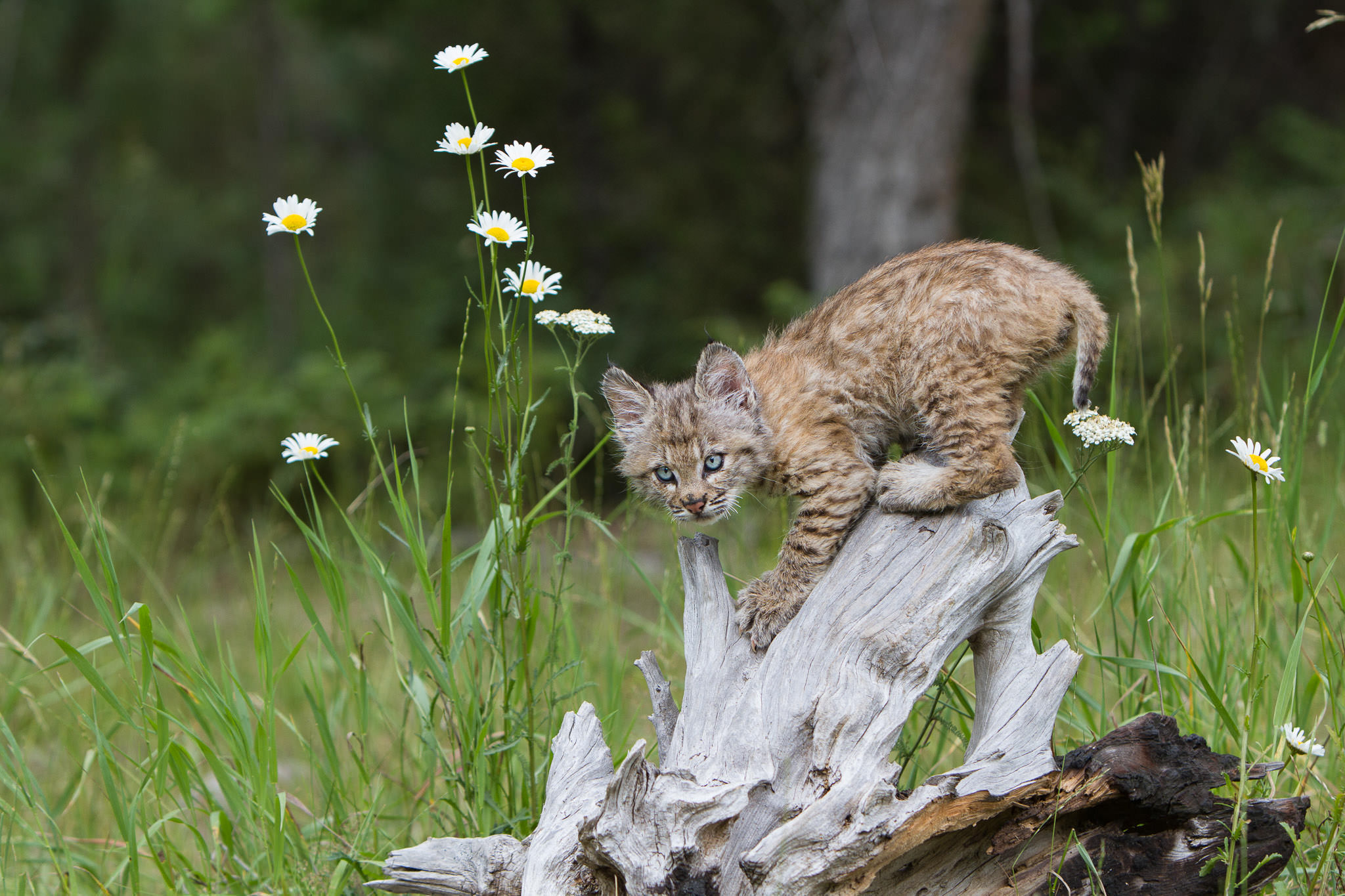 Bobcat kitten  Western Montana  #20130708_0120-2