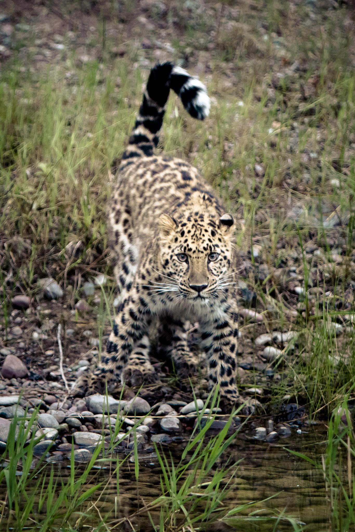 Amur Leopard #20130708_0431