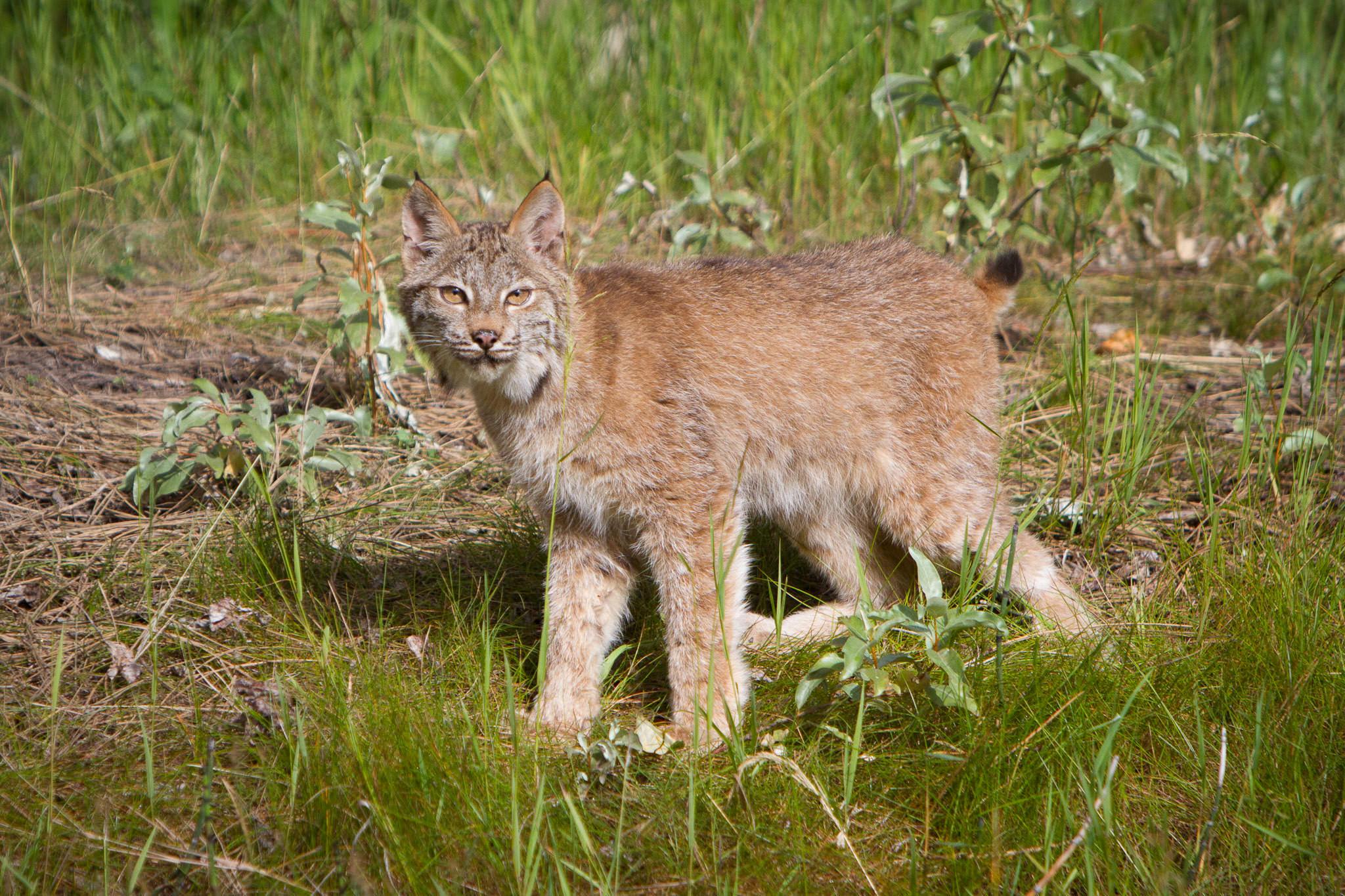 Canadian Lynx  Western Montana  #20130708_0041-2