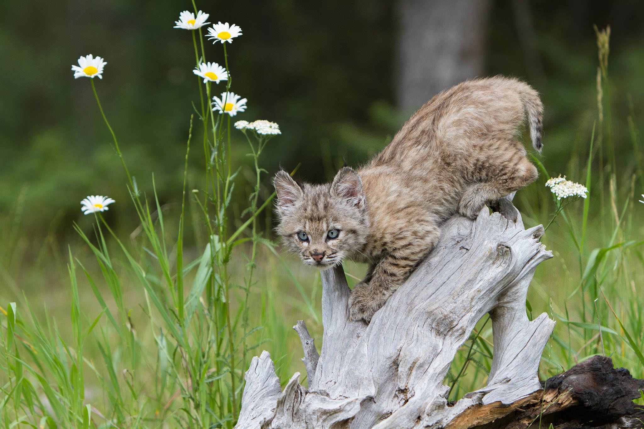 Bobcat kitten  Western Montana  #20130708_0126-2