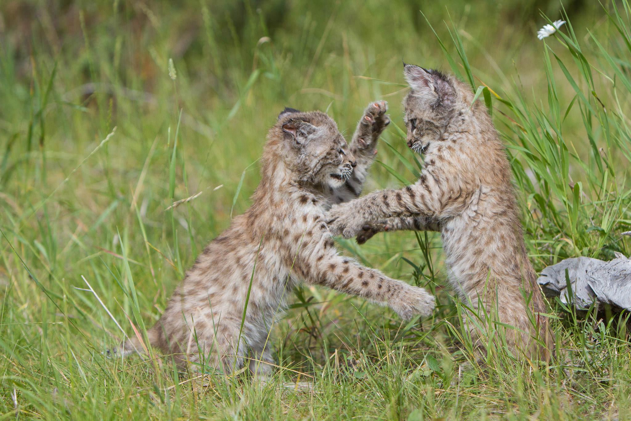 Bobcat kittens  Western Montana  #20130708_0162-2