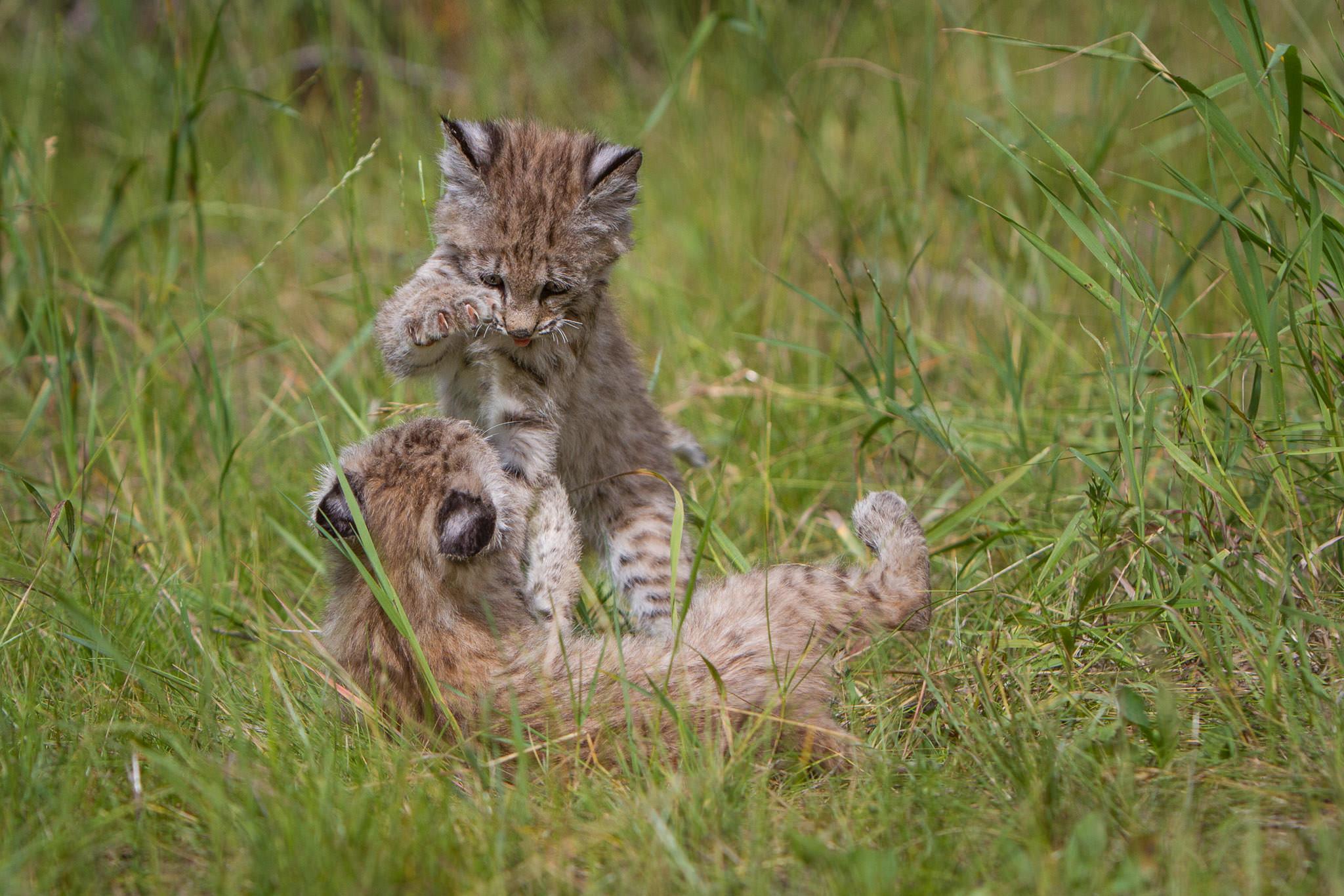 Bobcat kittens  Western Montana  #20130708_0181-2