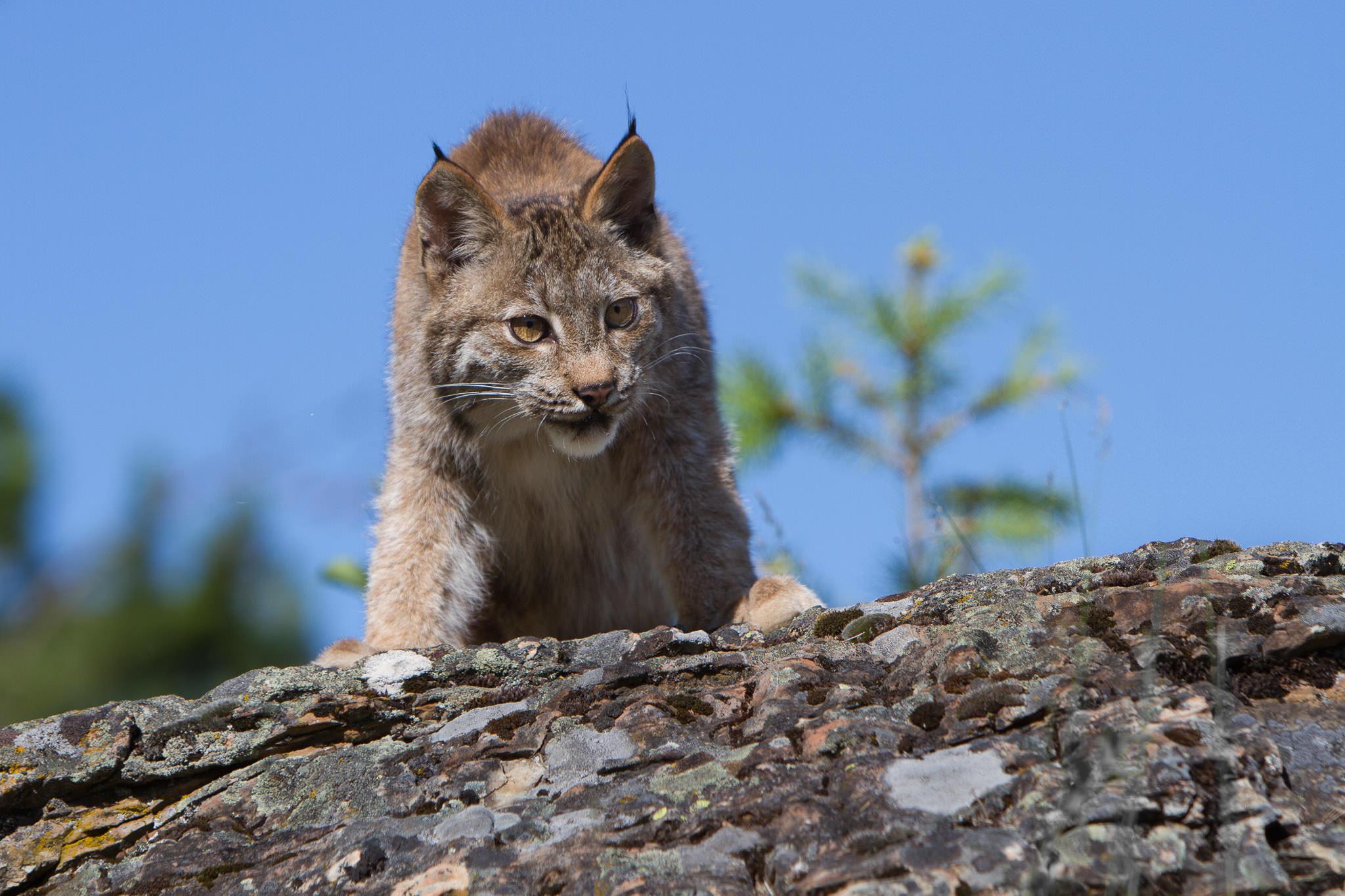 Canadian Lynx  Western Montana  #20130708_0687
