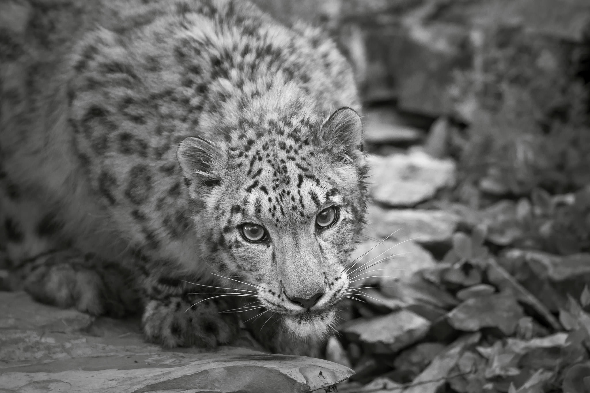 Snow Leopard #20130709_0007