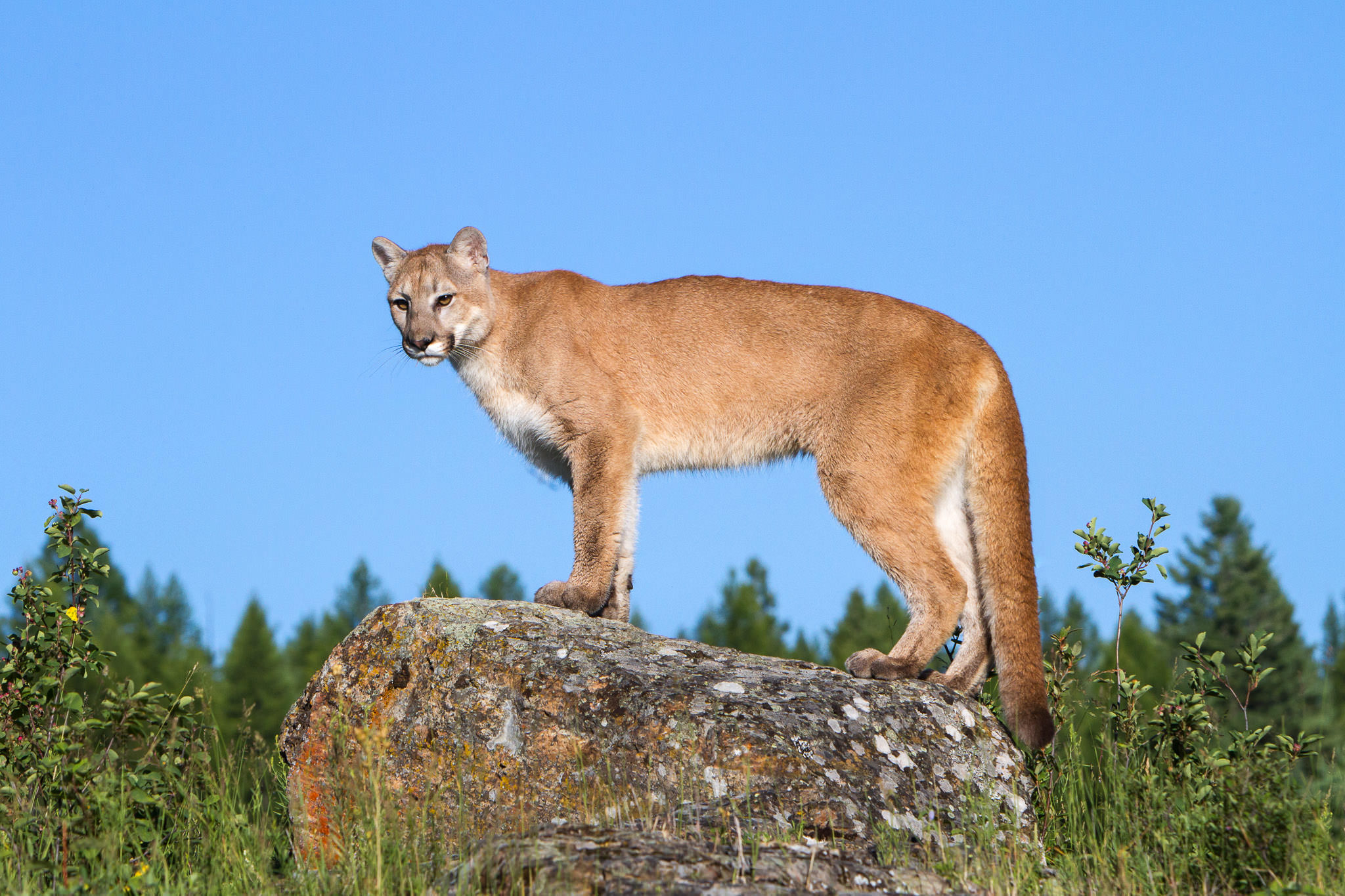 Mountain Lion  Western Montana  #20130709_0134