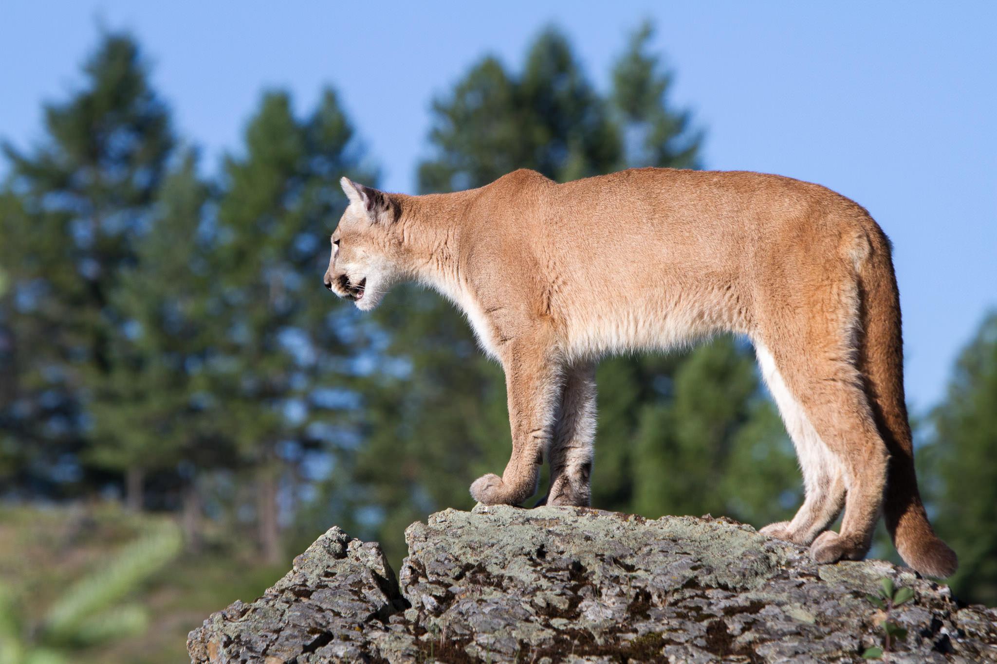 Mountain Lion  Western Montana  #20130709_0201