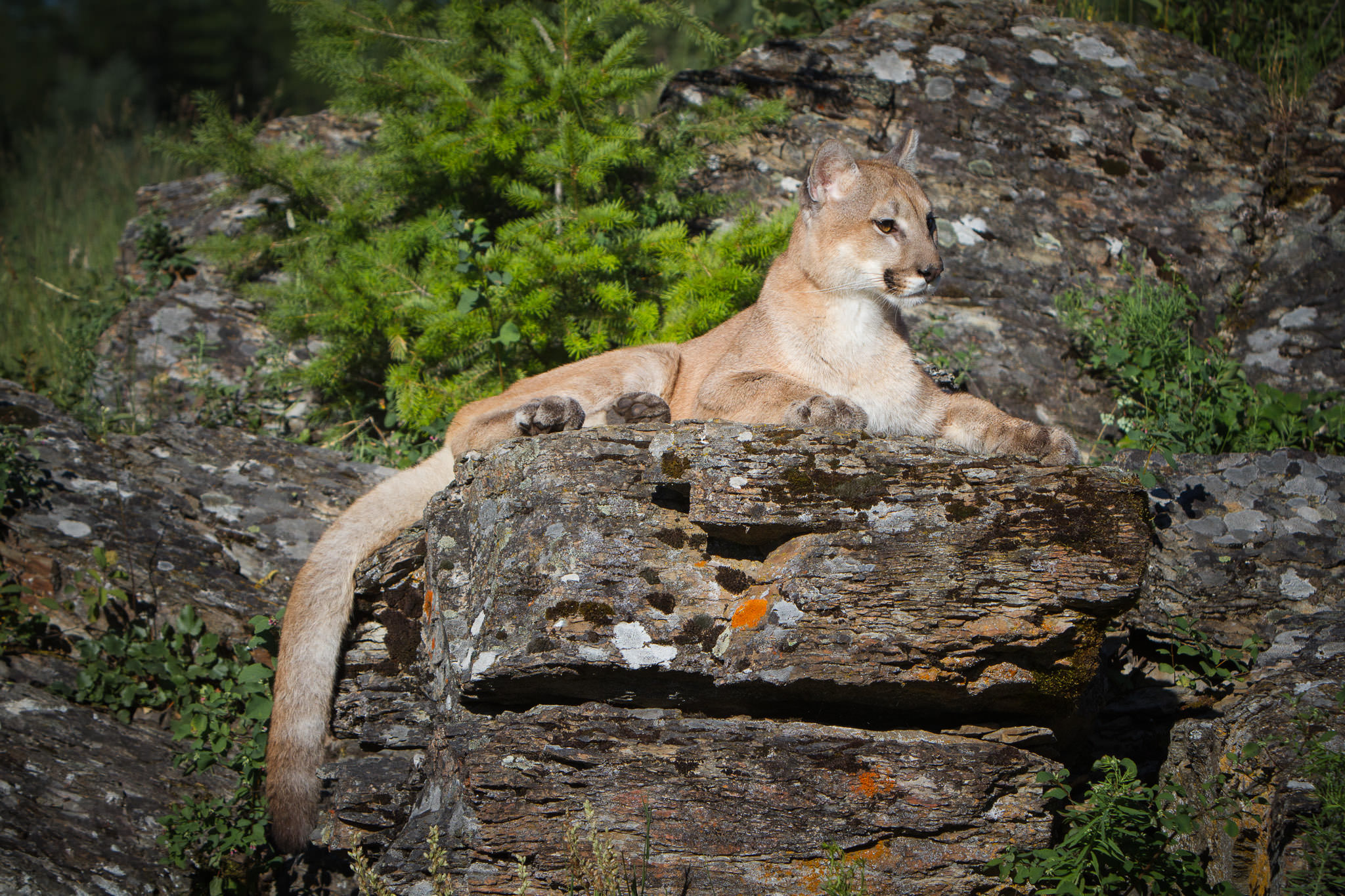 Mountain Lion  Western Montana  #20130709_0344