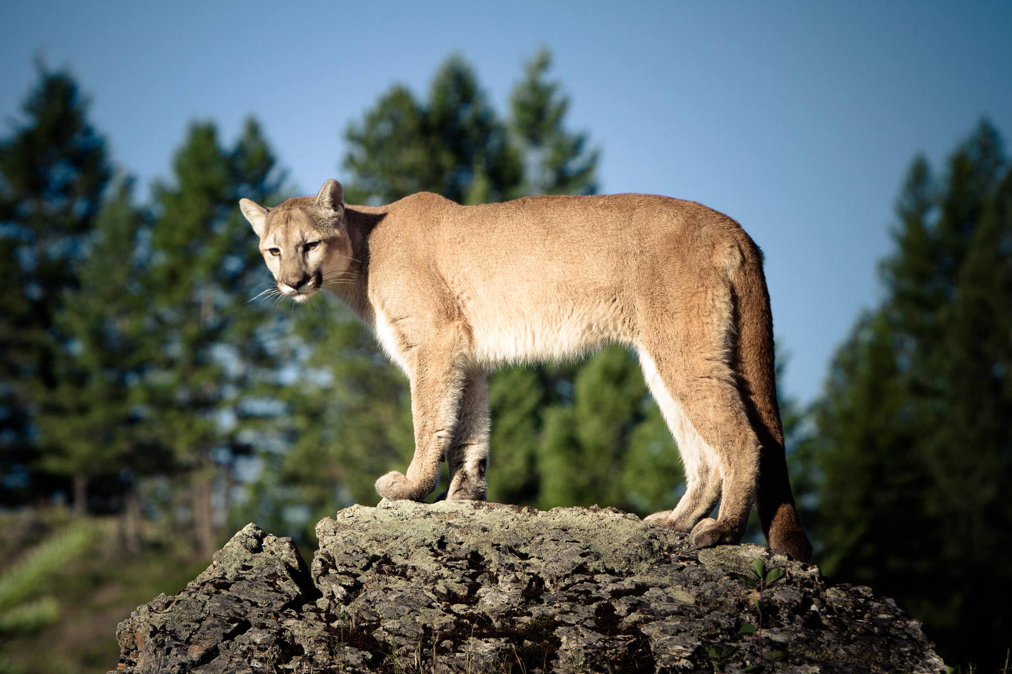 Mountain Lion  Western Montana  #20130709_0206-2
