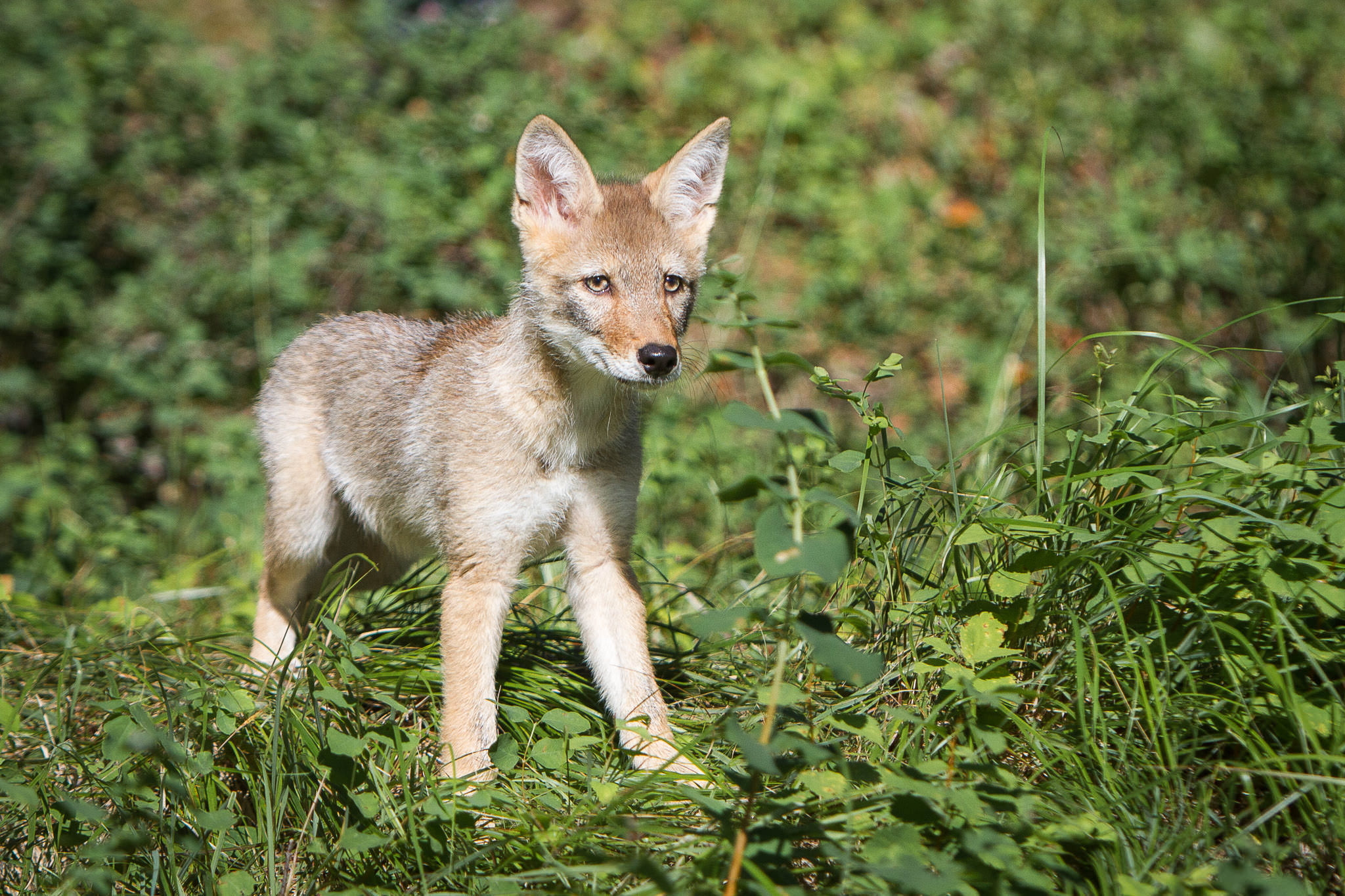 Coyote pup  Western Montana  #20130709_0468