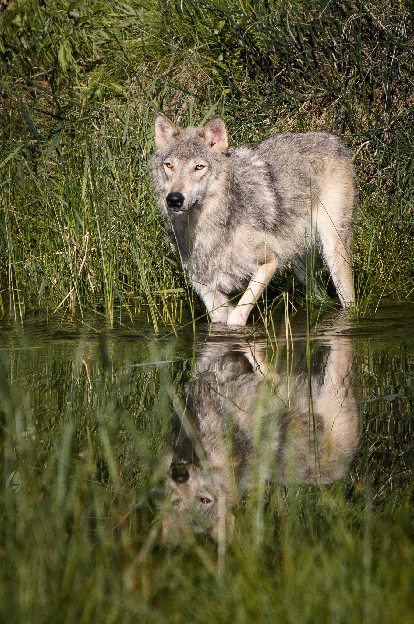 Wolf  Western Montana  #20130710_0153