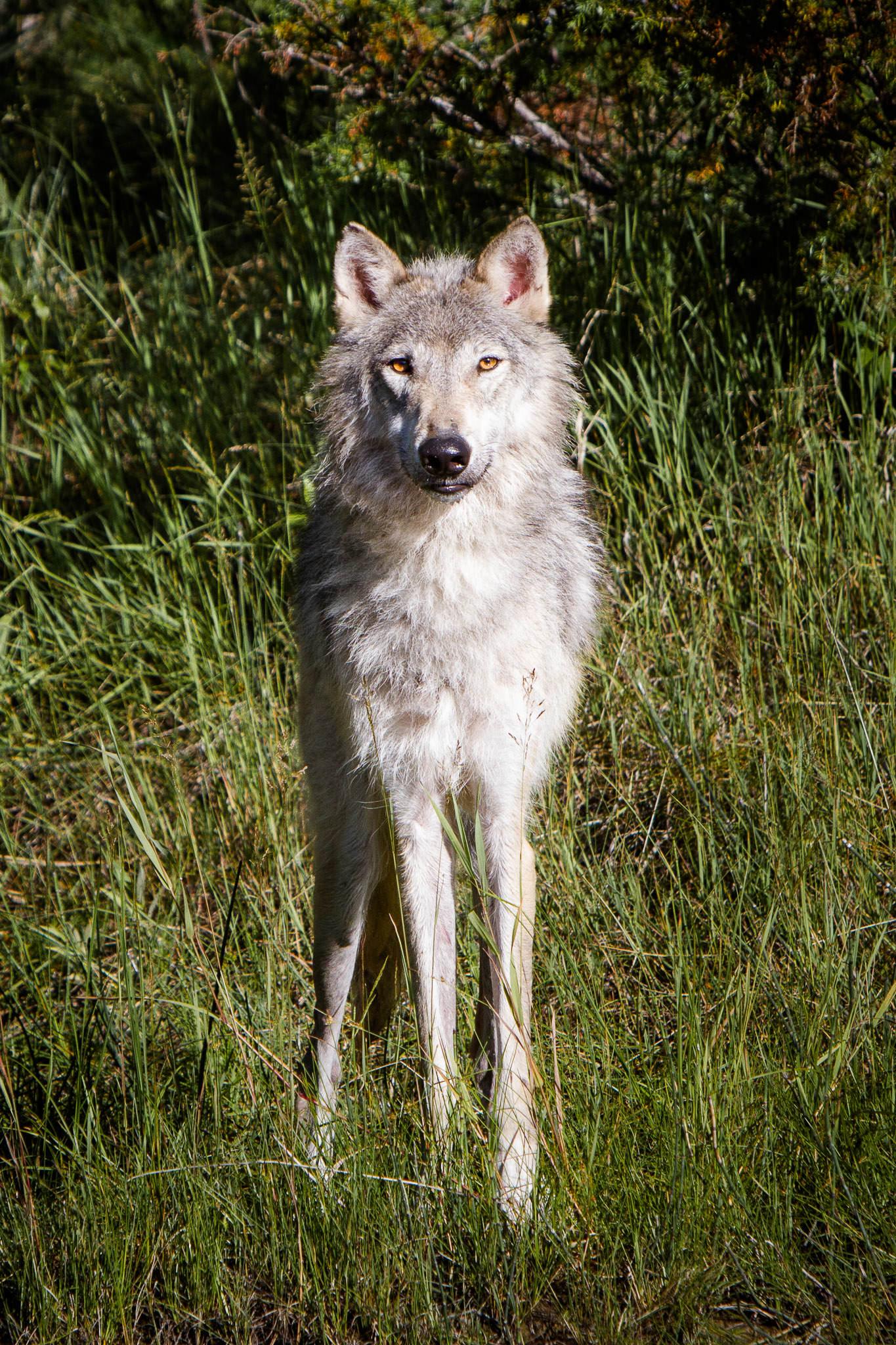 Wolf  Western Montana  #20130710_0174