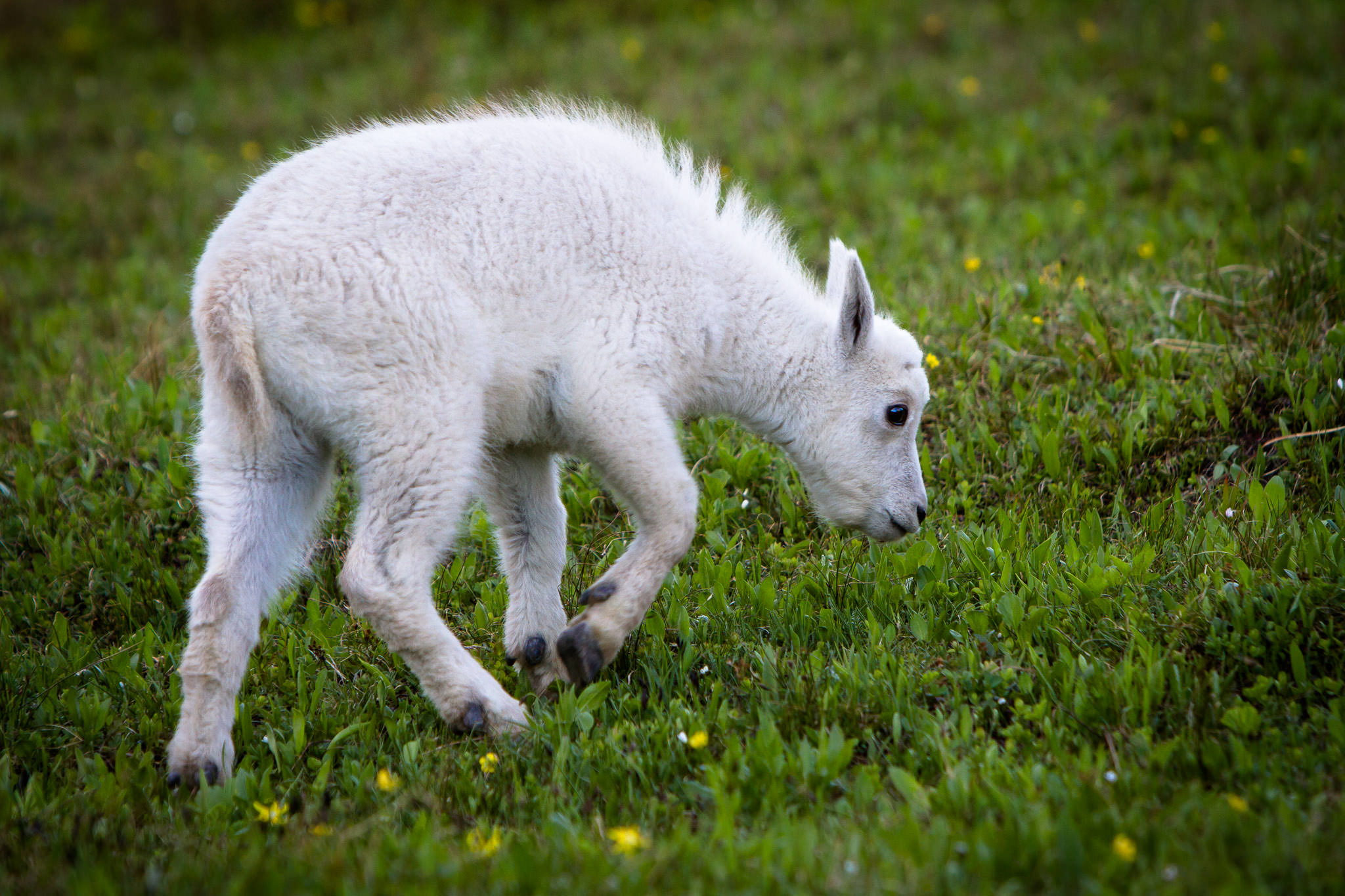 Mountain Goat kid  Glacier National Park  #20130711_0528-2