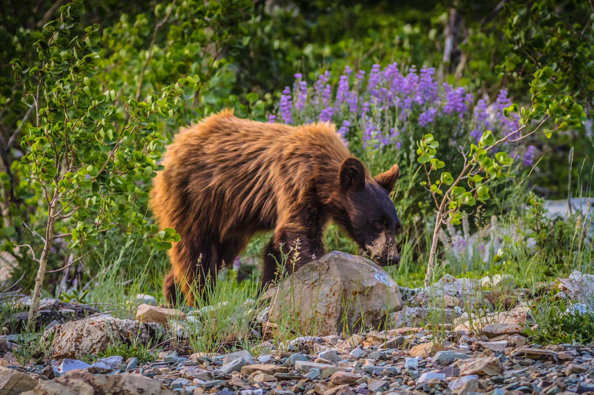 Black Bear  Glacier National Park  #20130711_0531