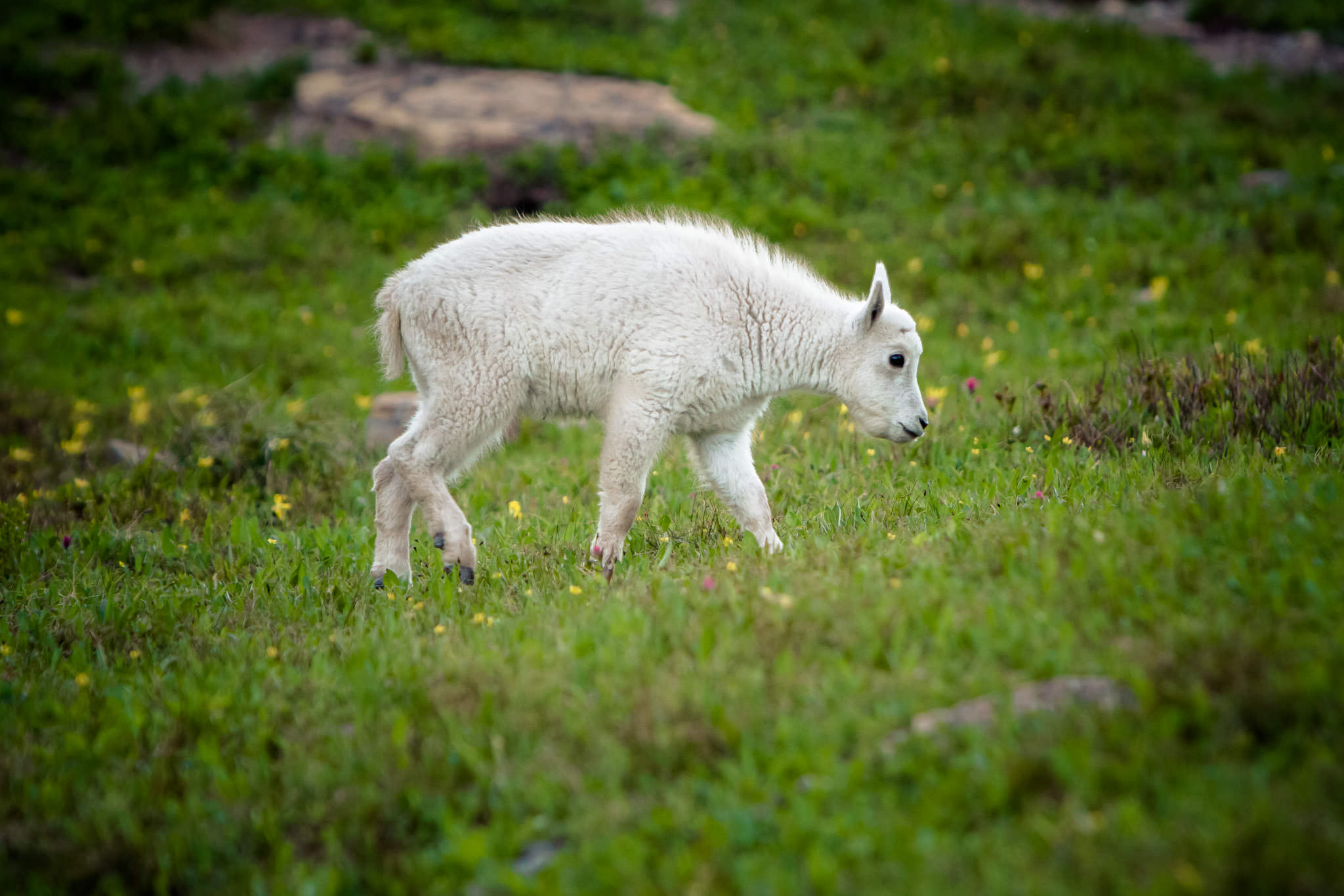 Mountain Goat kid  Glacier National Park  #20130711_0576-2
