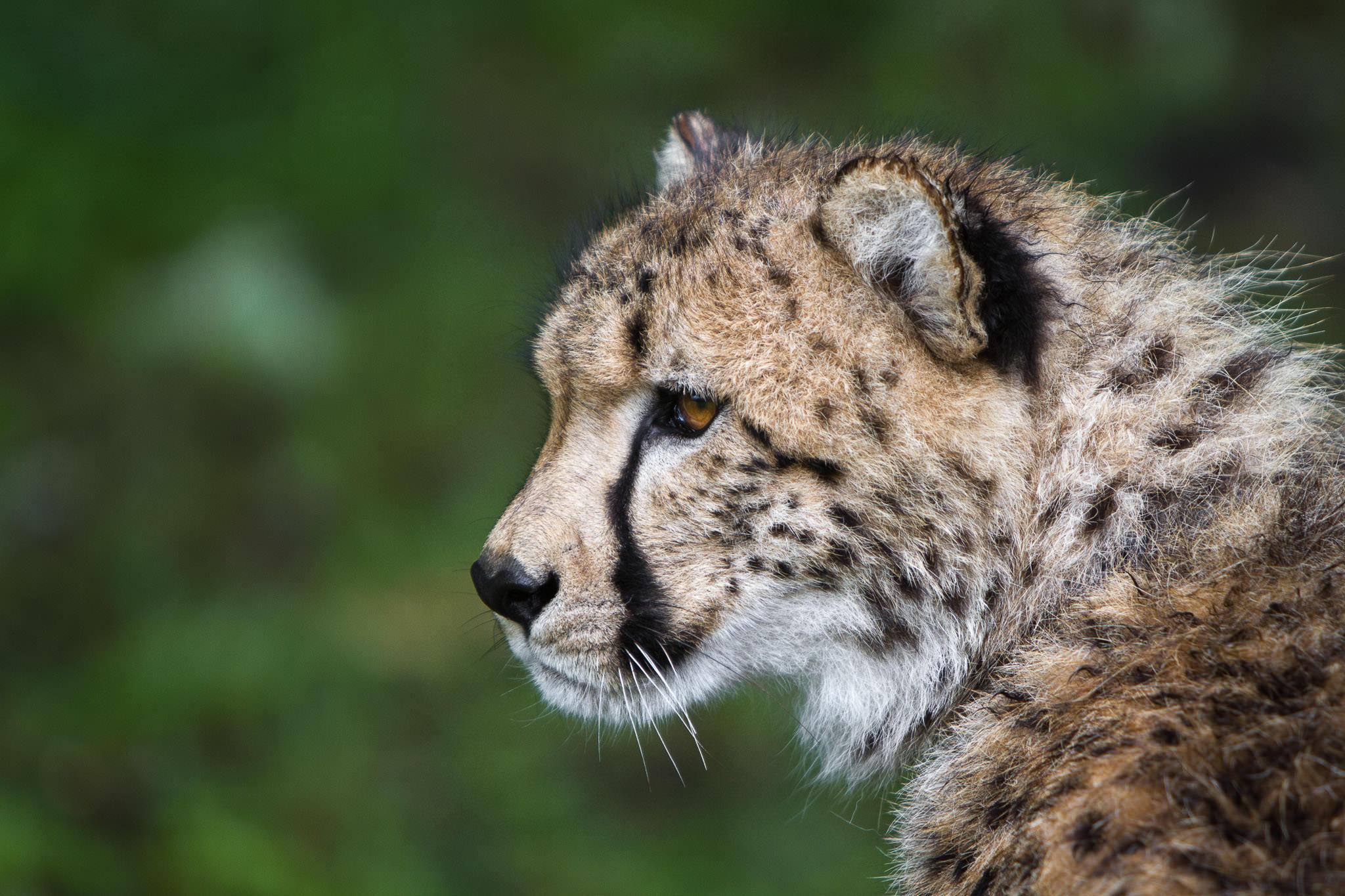 Cheetah #20130527_0083-3