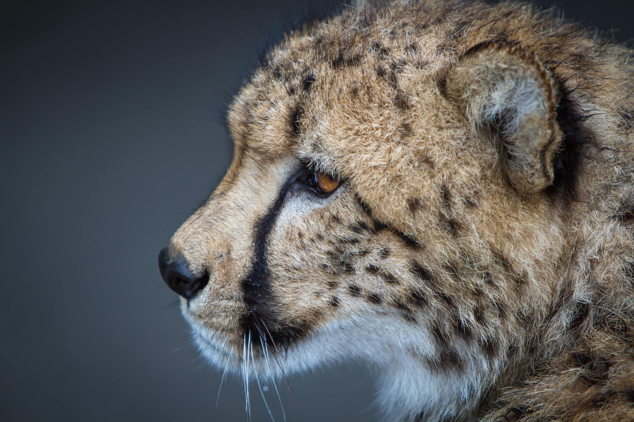 Cheetah #20130527_0161-3