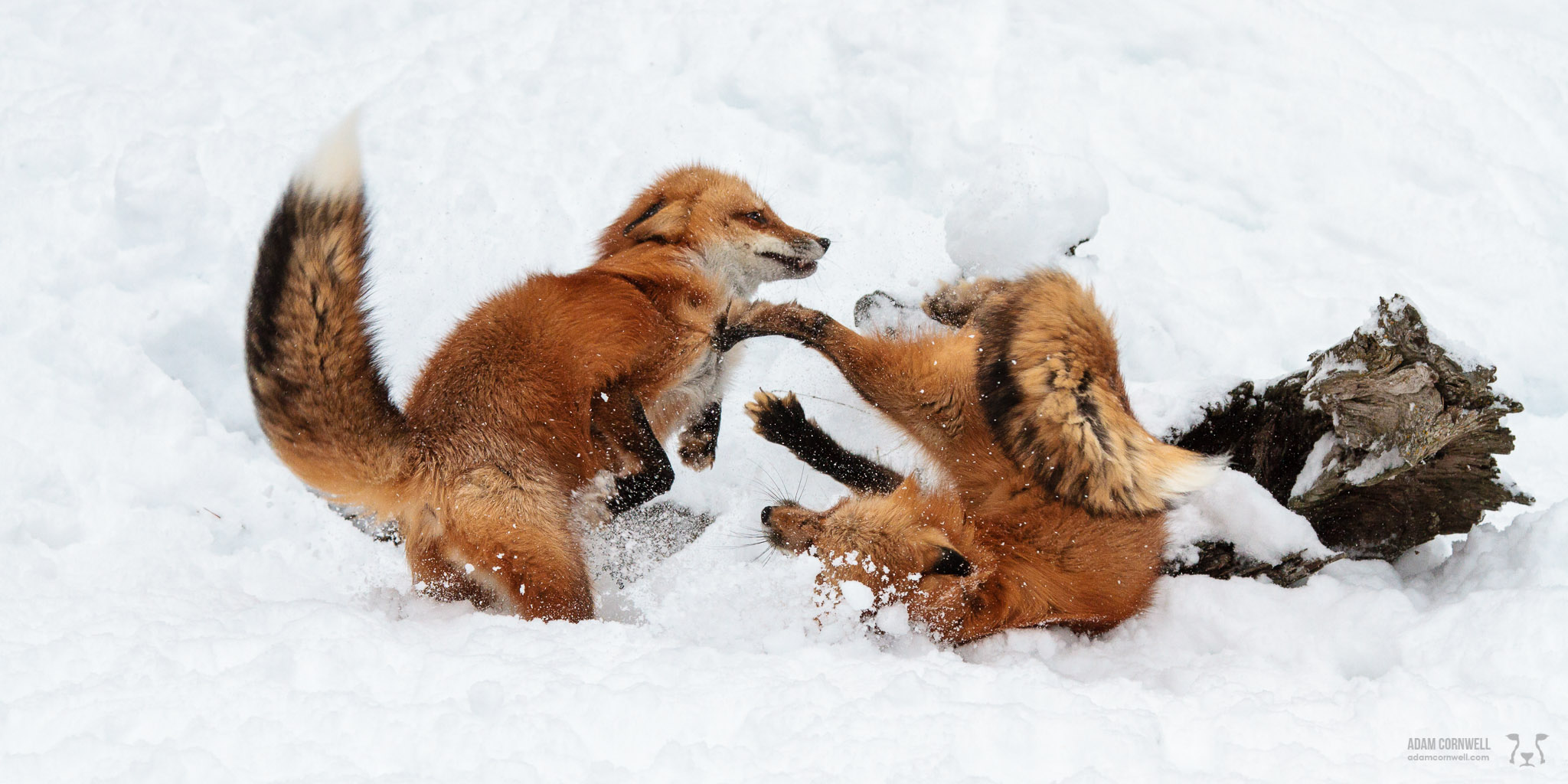Red Foxes at Play
