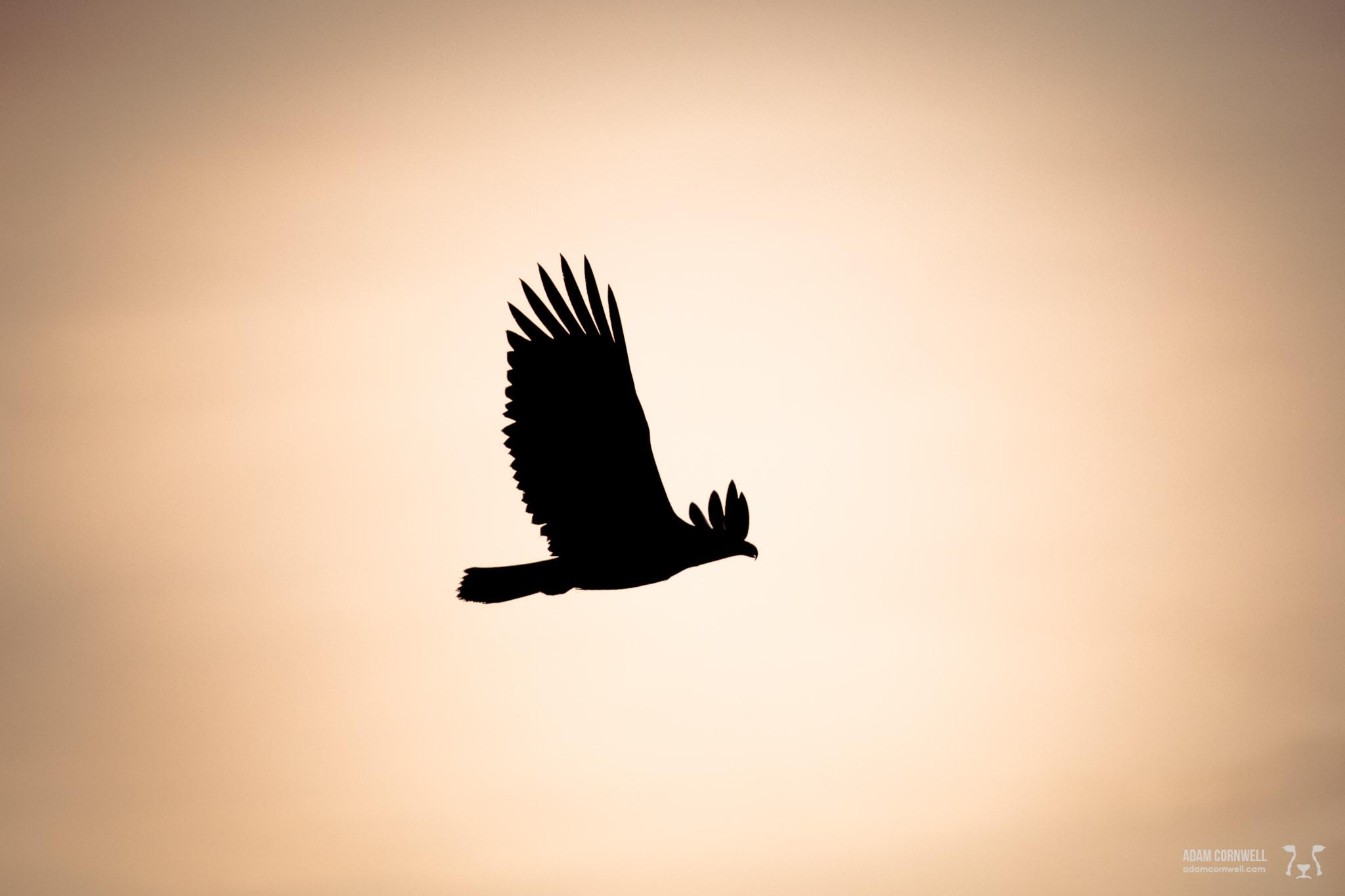 Bald Eagle  Chilkat Valley, AK  #20111019_2750