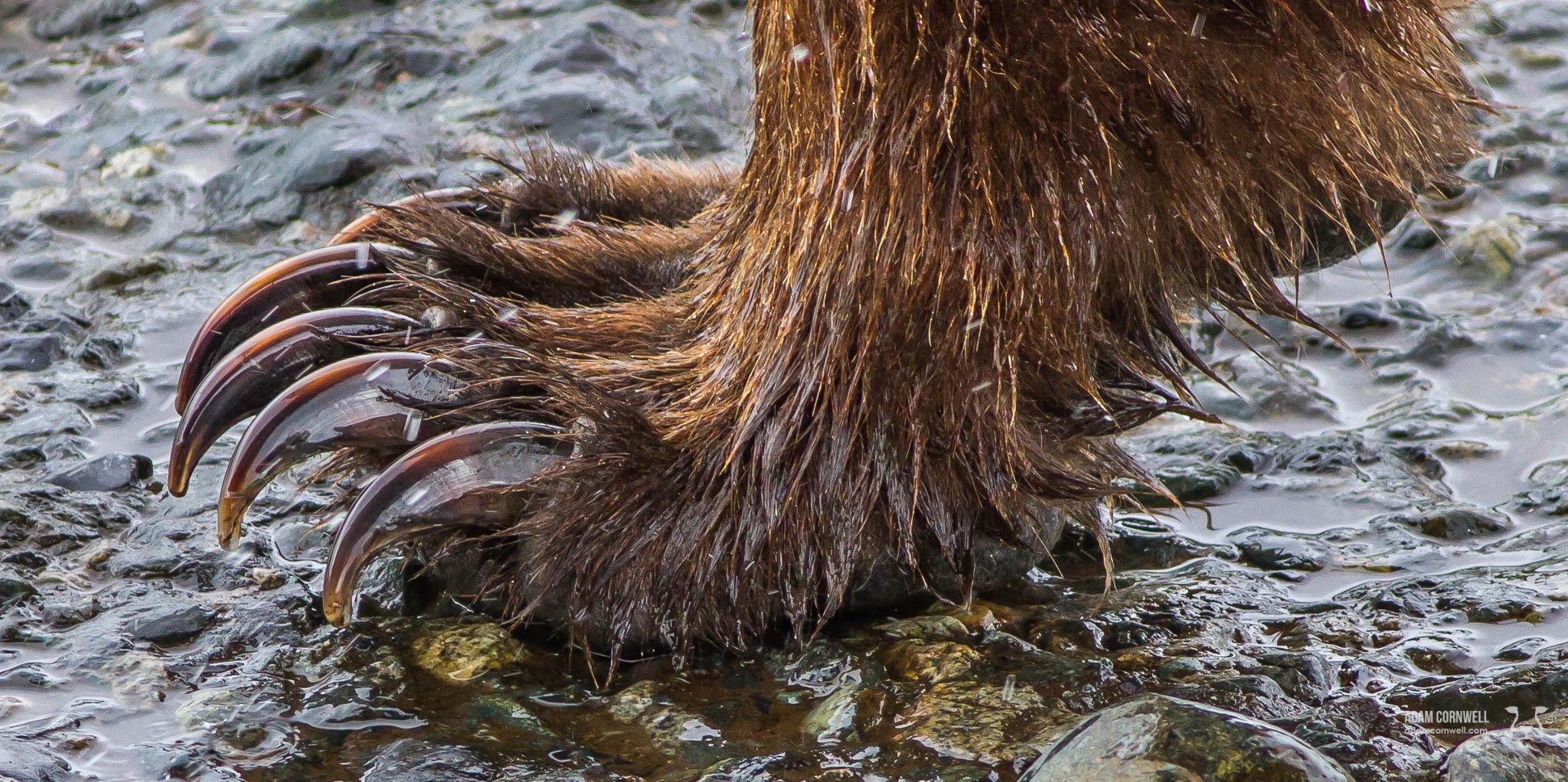 Brown Bear Claws