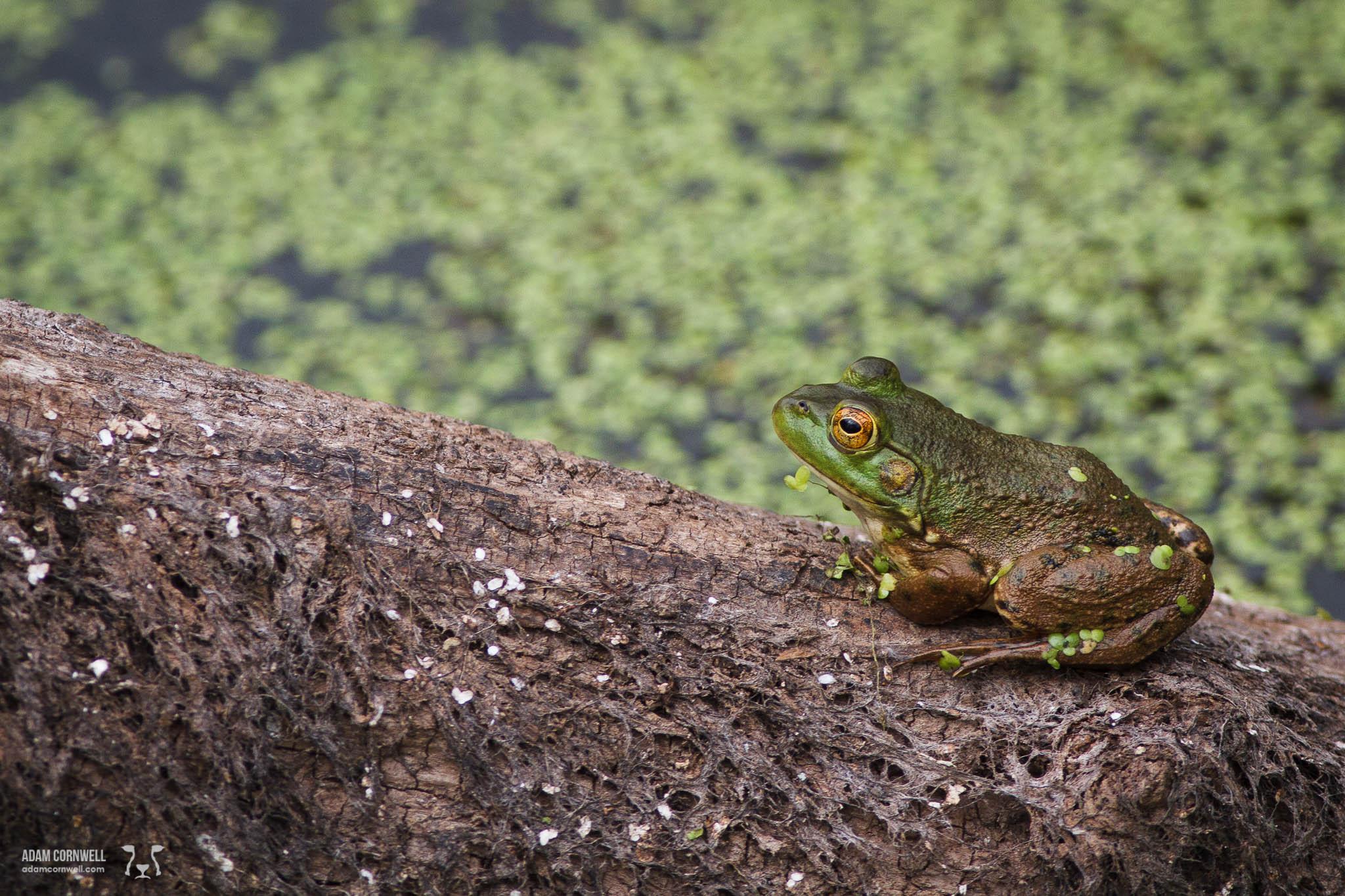 Frog  Ridgefield Wildlife Refuge  #20140829_0090