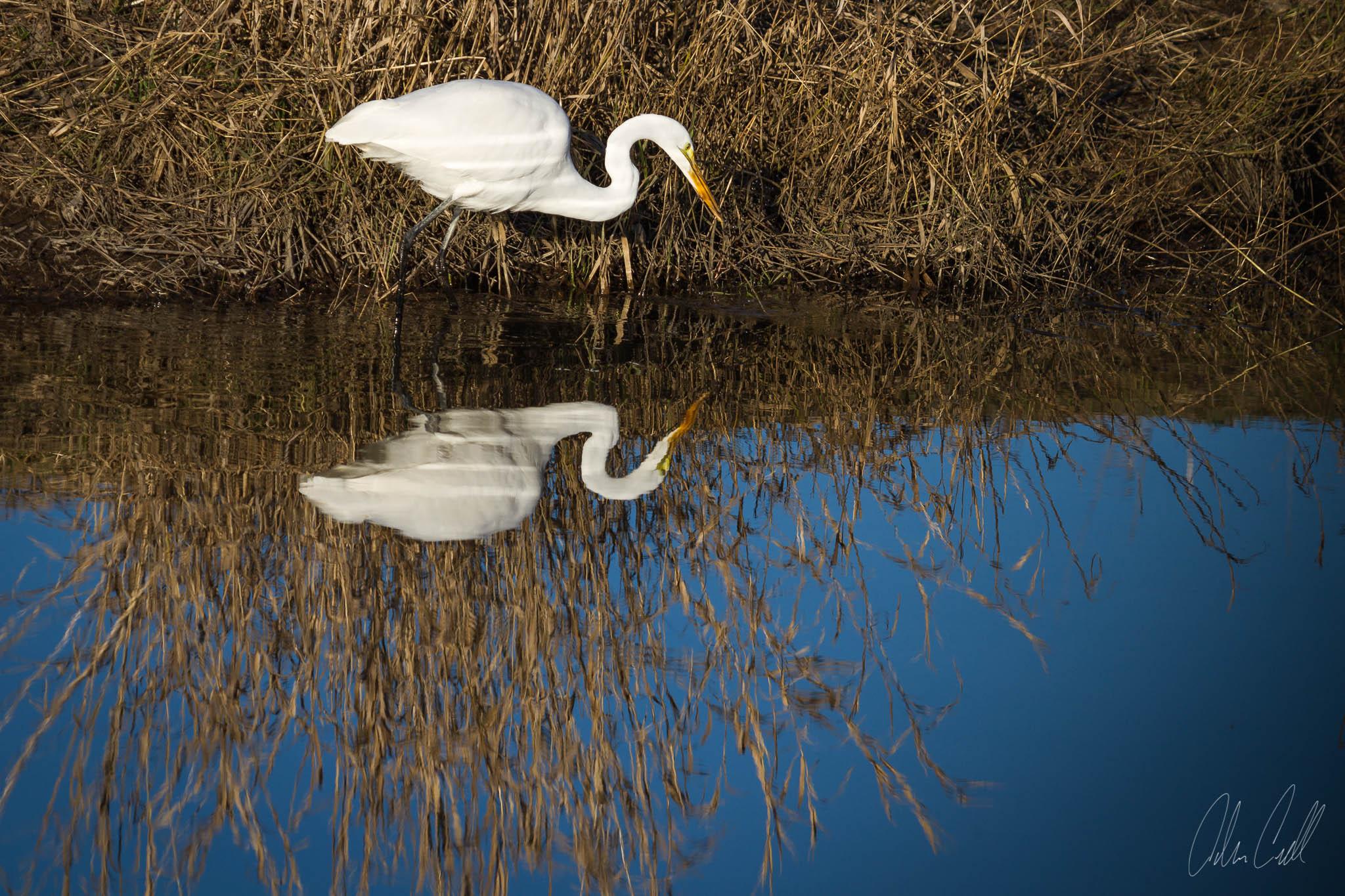 Egret Fishing  Ridgefield Wildlife Refuge  #20150130_0539