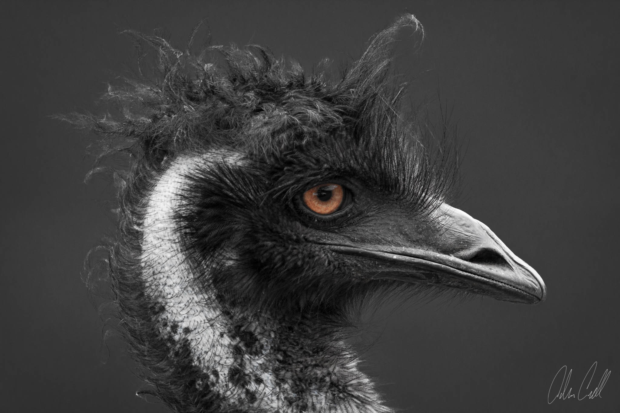 Emu  #20150314_0308  FACTOID: Emus have two eyelids, one for blinking, and one to keep out dust.  STATUS:  Stable