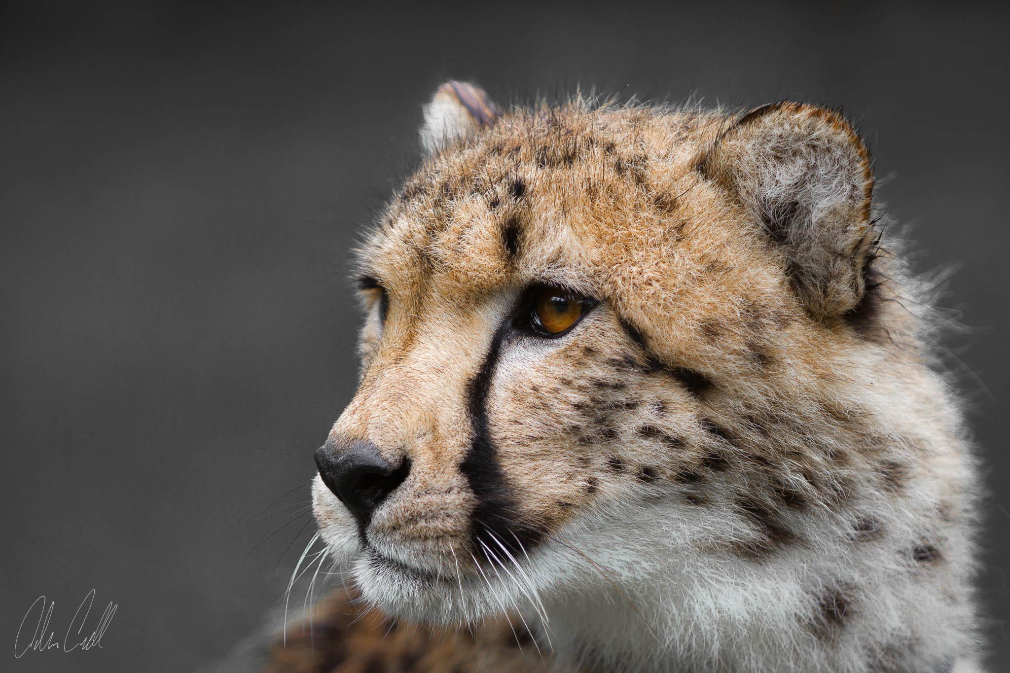Cheetah #20130527_0059-3