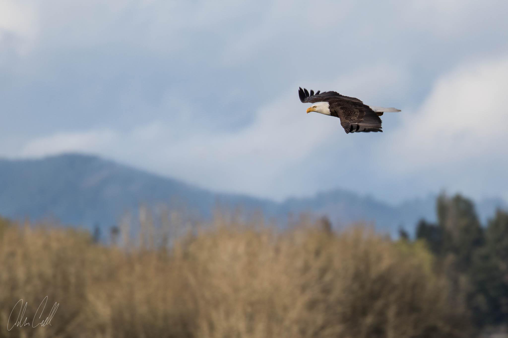 Bald Eagle  Ridgefield Wildlife Refuge  #20150414_0044
