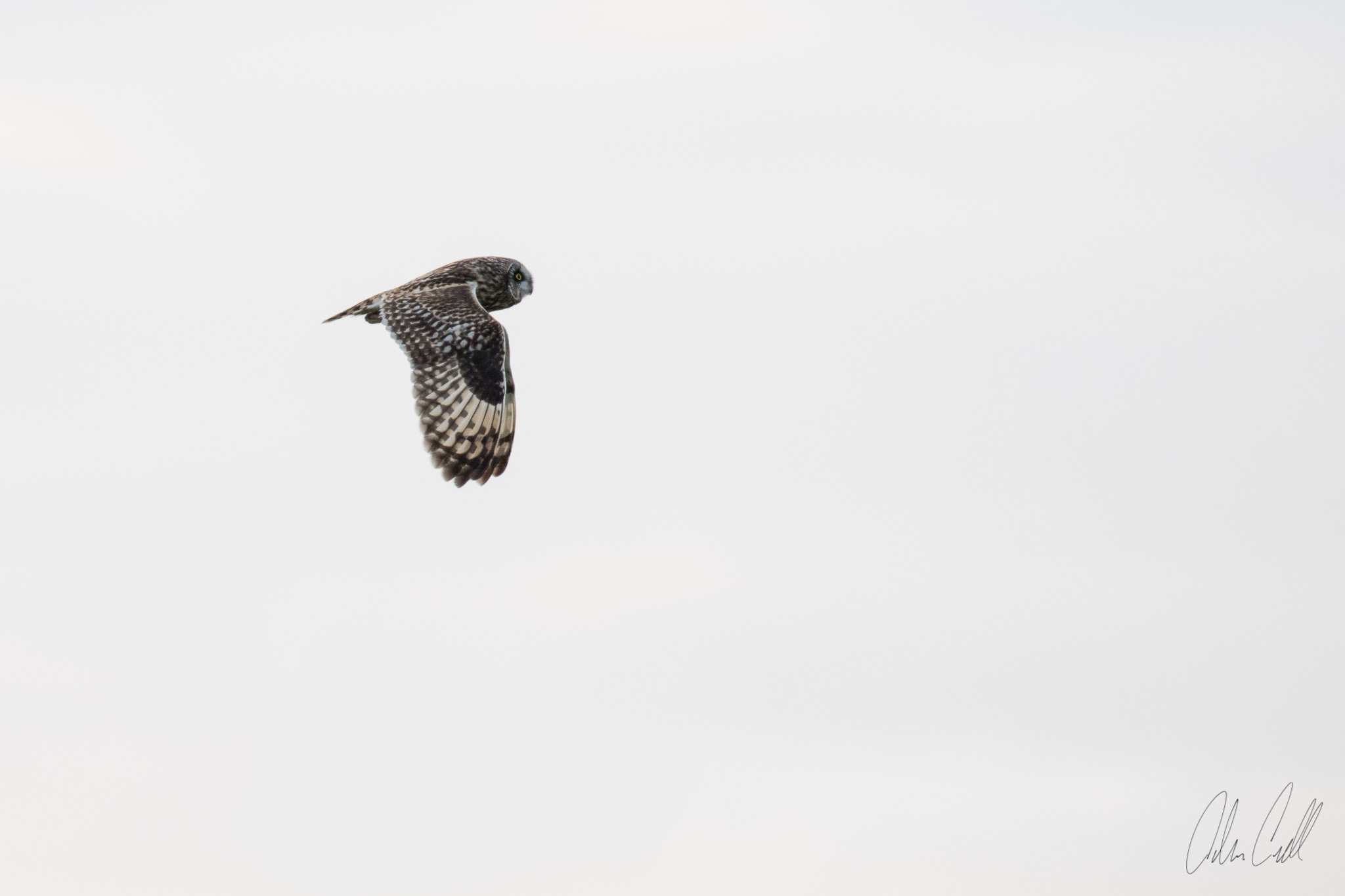 Short-eared Owl Ridgefield Wildlife Refuge #20150402_0080