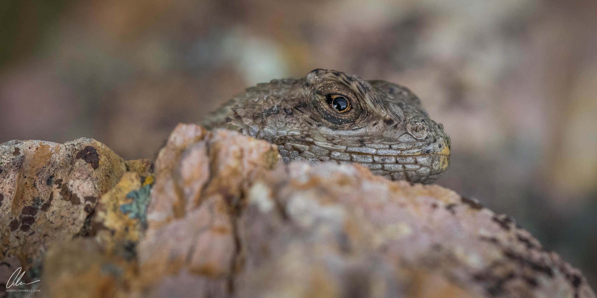 Western Fence Lizard  Painted Hills, OR #20150522_0217