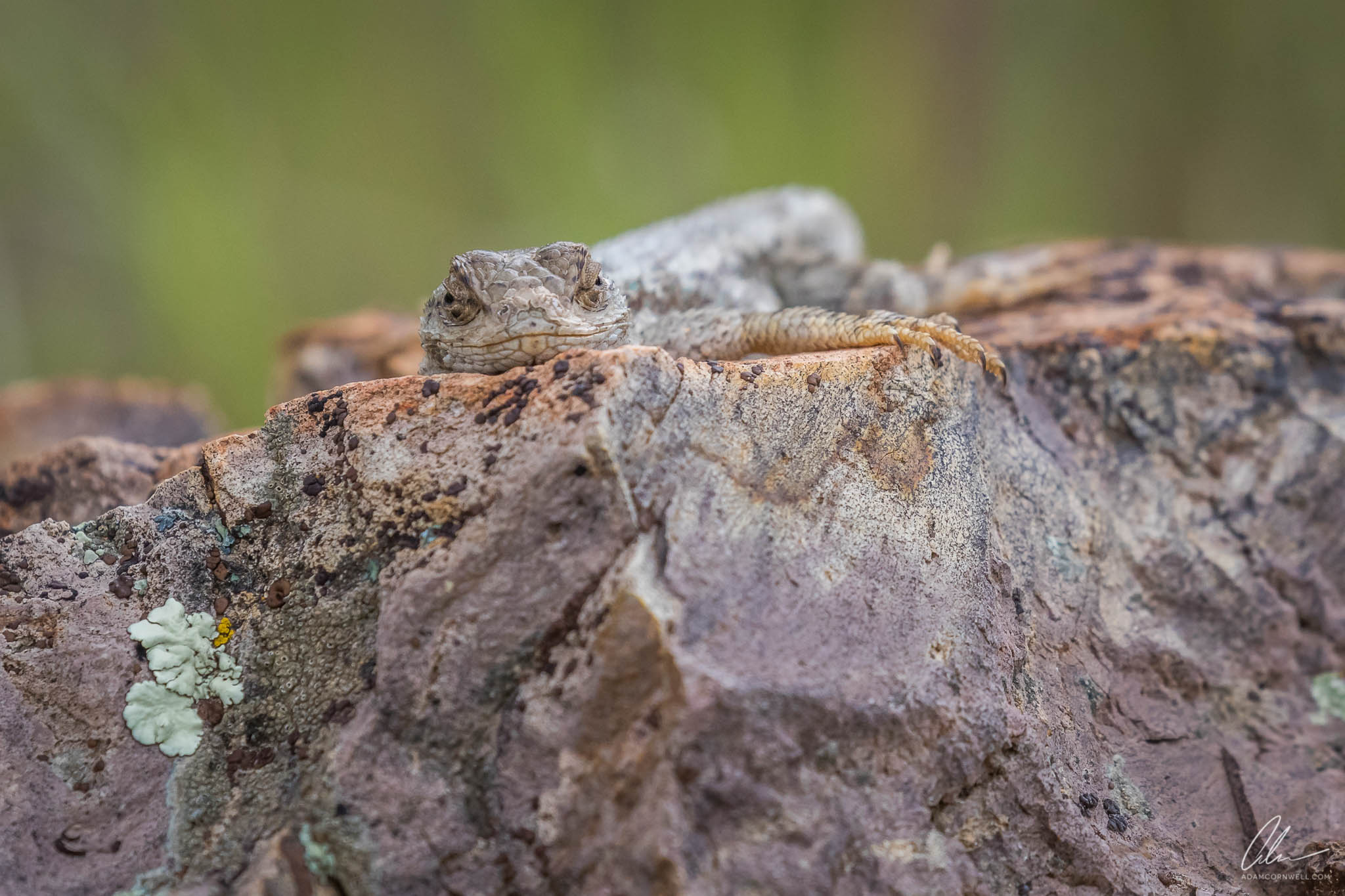 Western Fence Lizard  Painted Hills, OR #20150522_0153