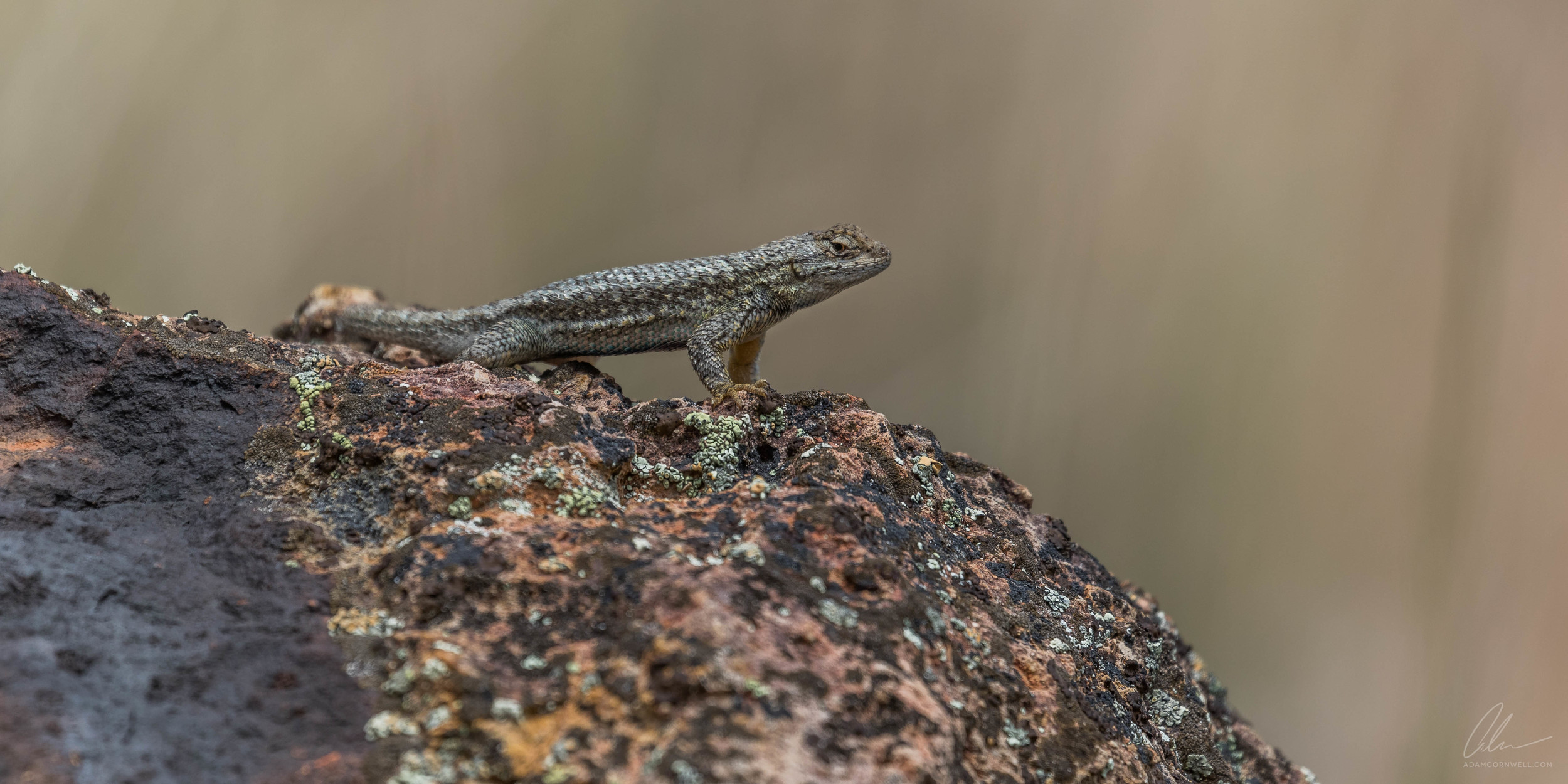 Western Fence Lizard  Painted Hills, OR #20150522_0258