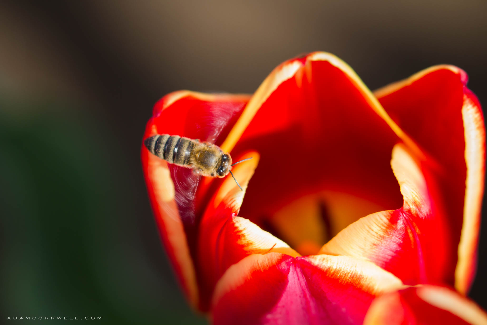 Honey Bee  Woodland Tulip Festival #20150328_0030