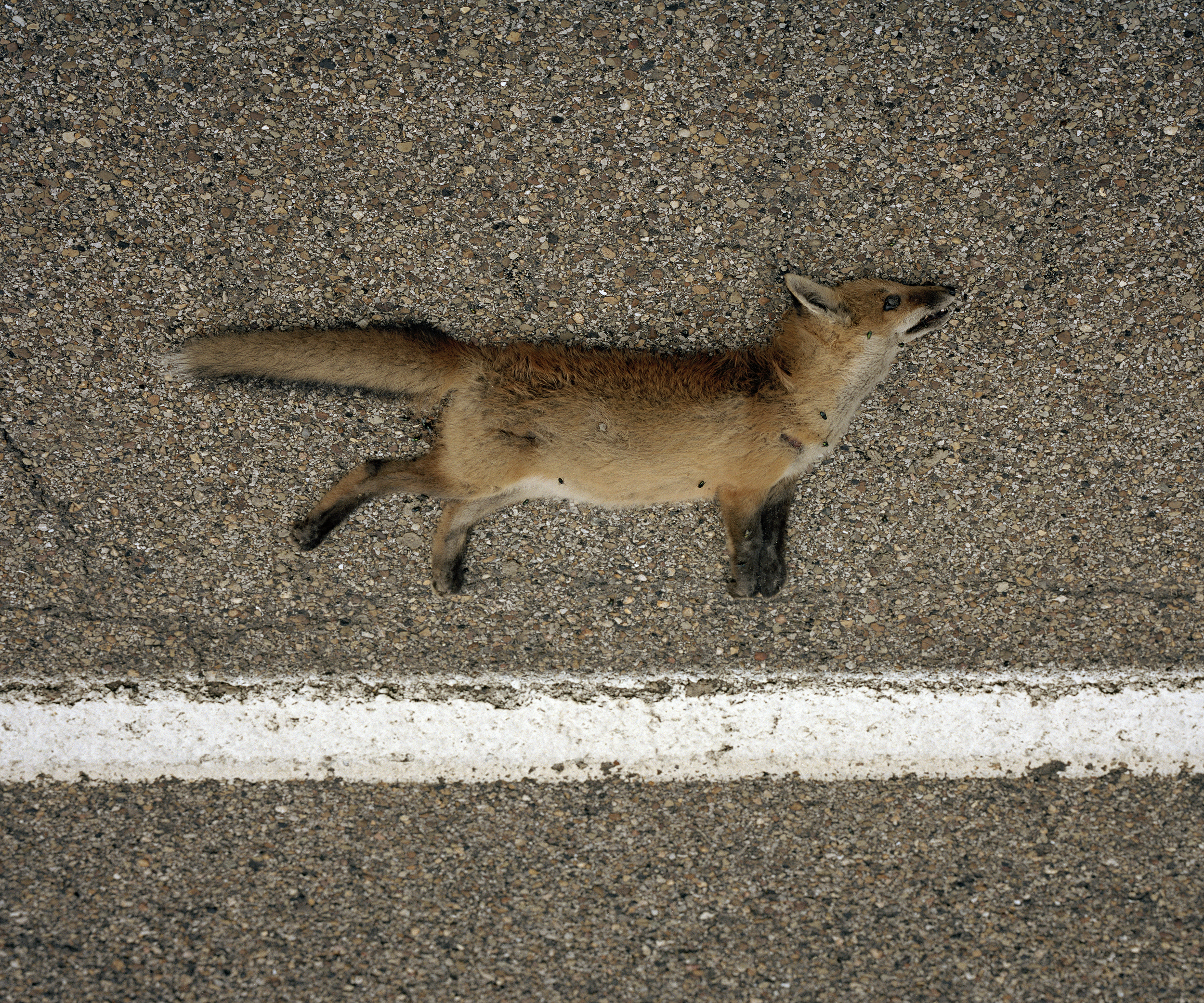 dead fox copy.jpg