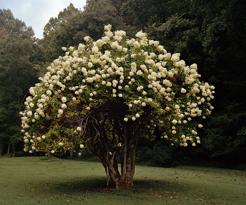 magnolia treeRTP copy.jpg
