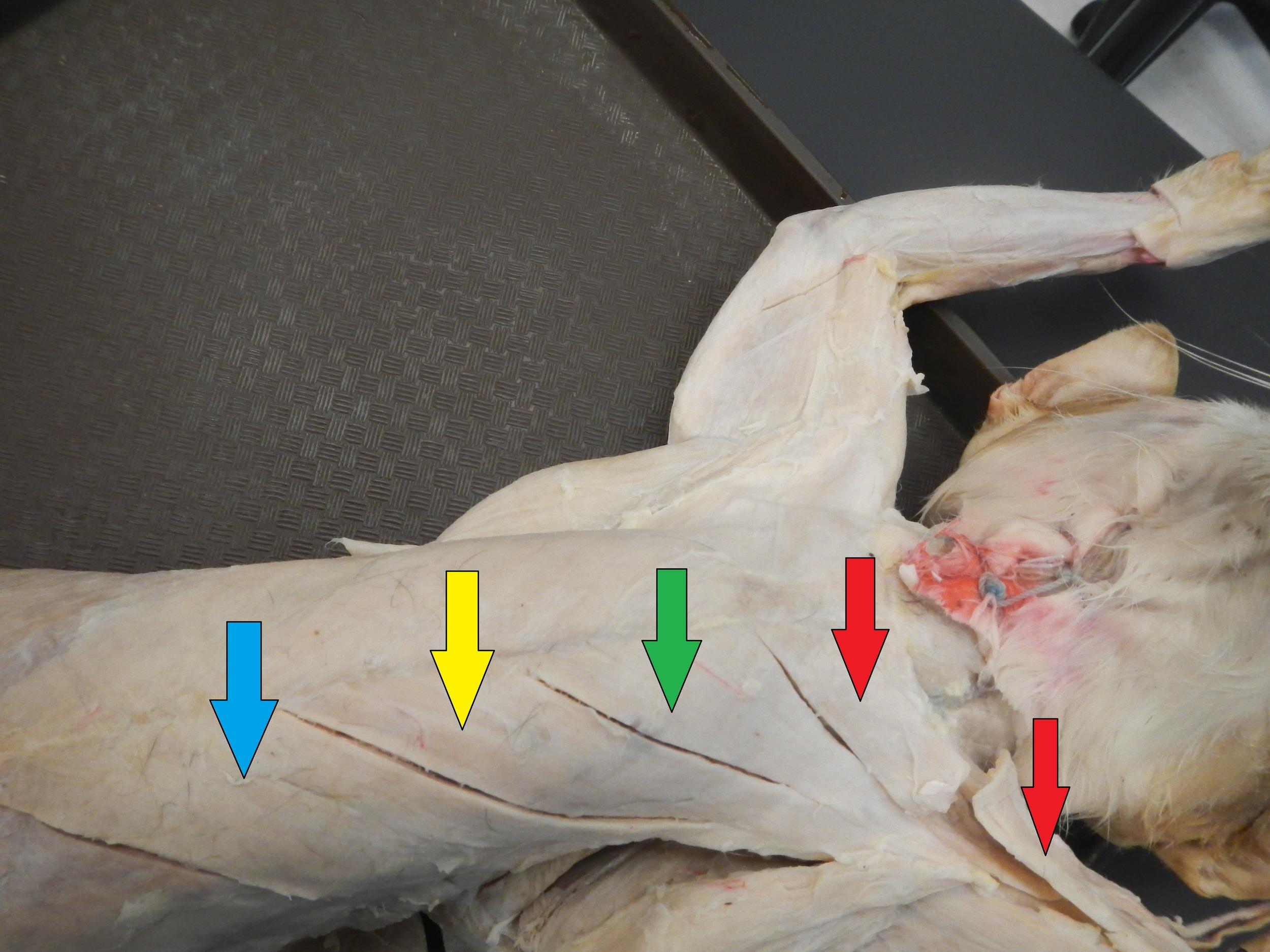 Chest Musculature:    Blue: Xiphihumeralis    Yellow: Pectoralis Minor    Green: Pectoralis Major    Red: Pectoantebrachialis