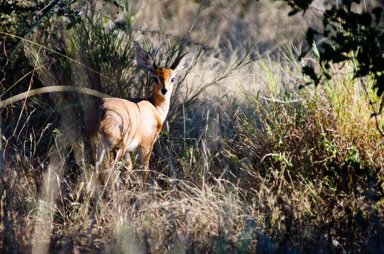 Steenbok - one of the few animals we saw that wasn't near a waterhole