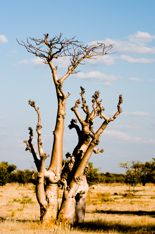 African moringa (Moringa ovalifolia) otherwise known as Sprokiesboom(ghost tree)