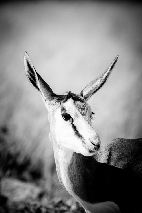 Young springbok