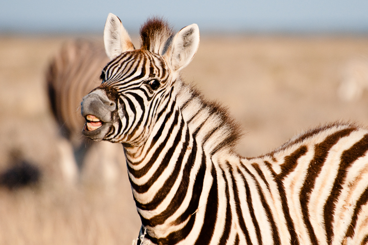 young-zebra-funny-face